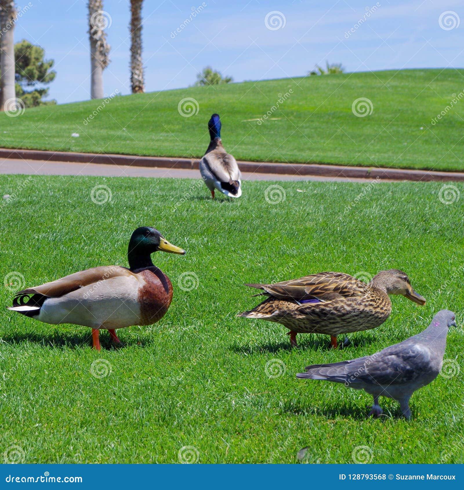 Мужские и женские утки кряквы на местном поле для гольфа