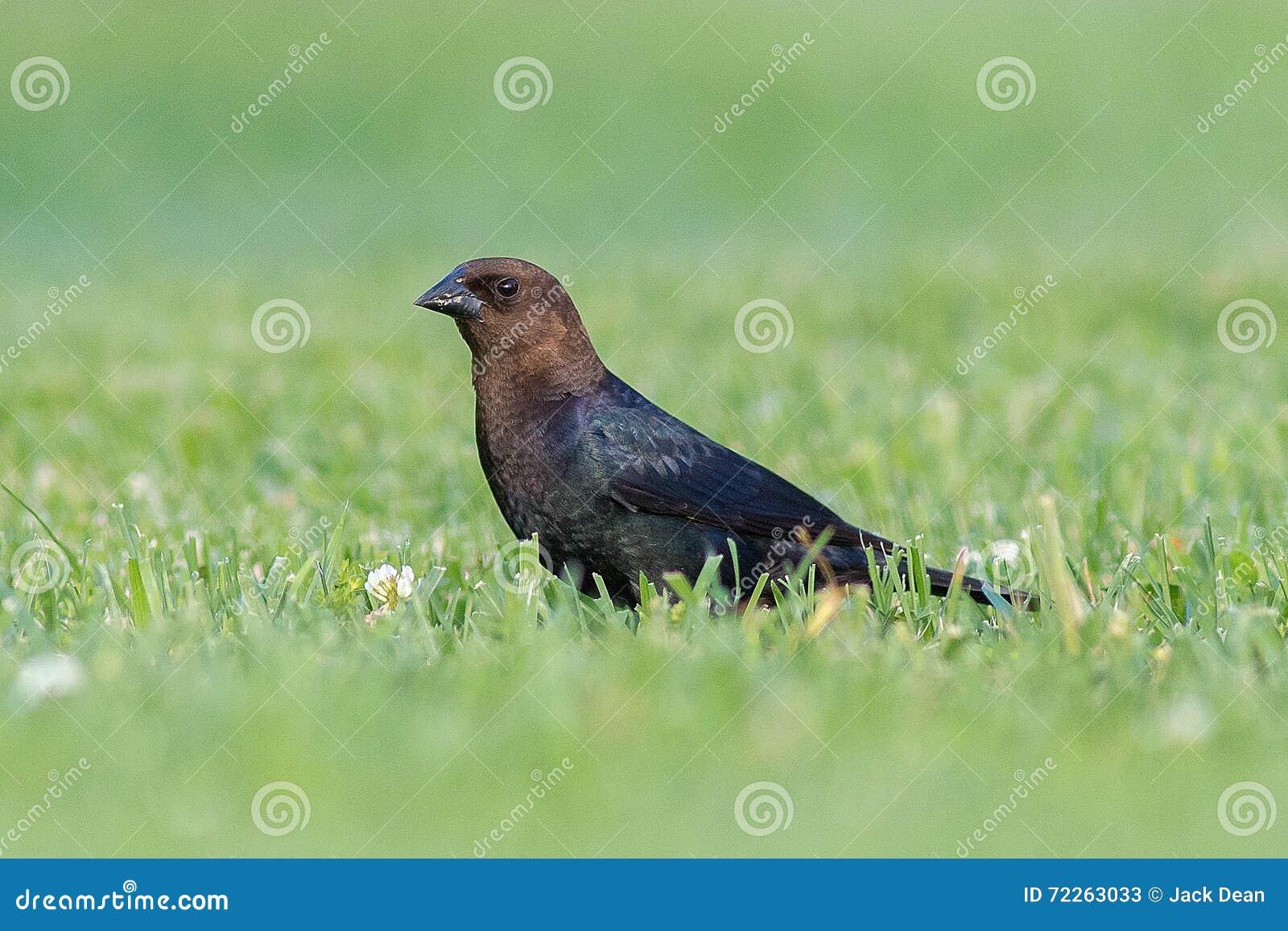 Мужской Брайн-головый Cowbird