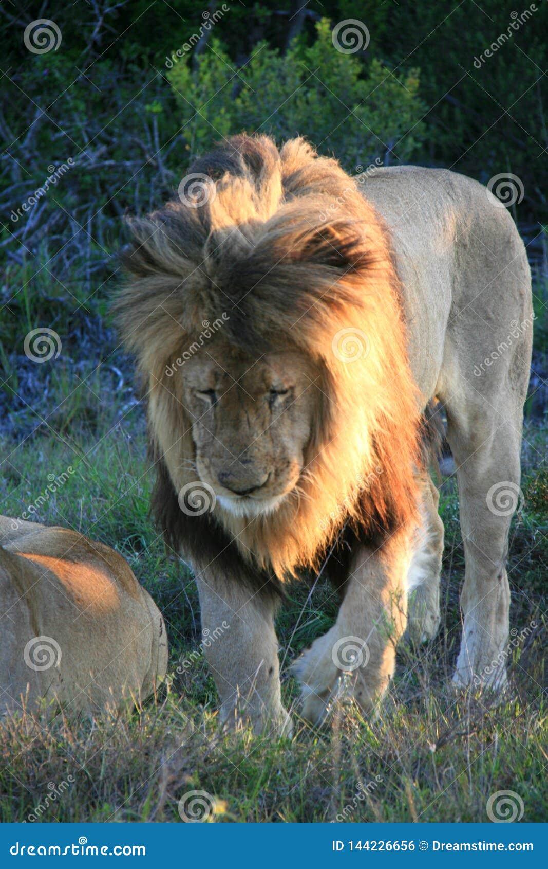 Мужской лев идя на зеленую траву с пурпурными цветками в Южной Африке