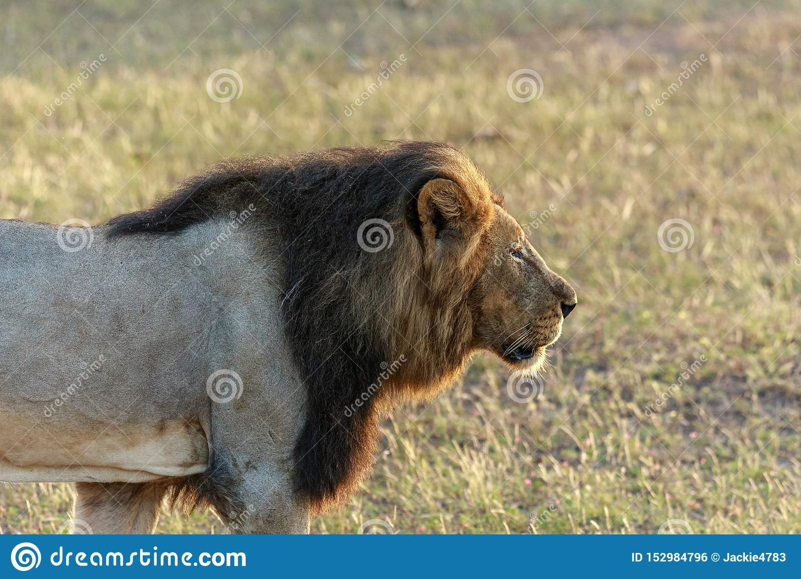 Мужской лев на рыскании в диком