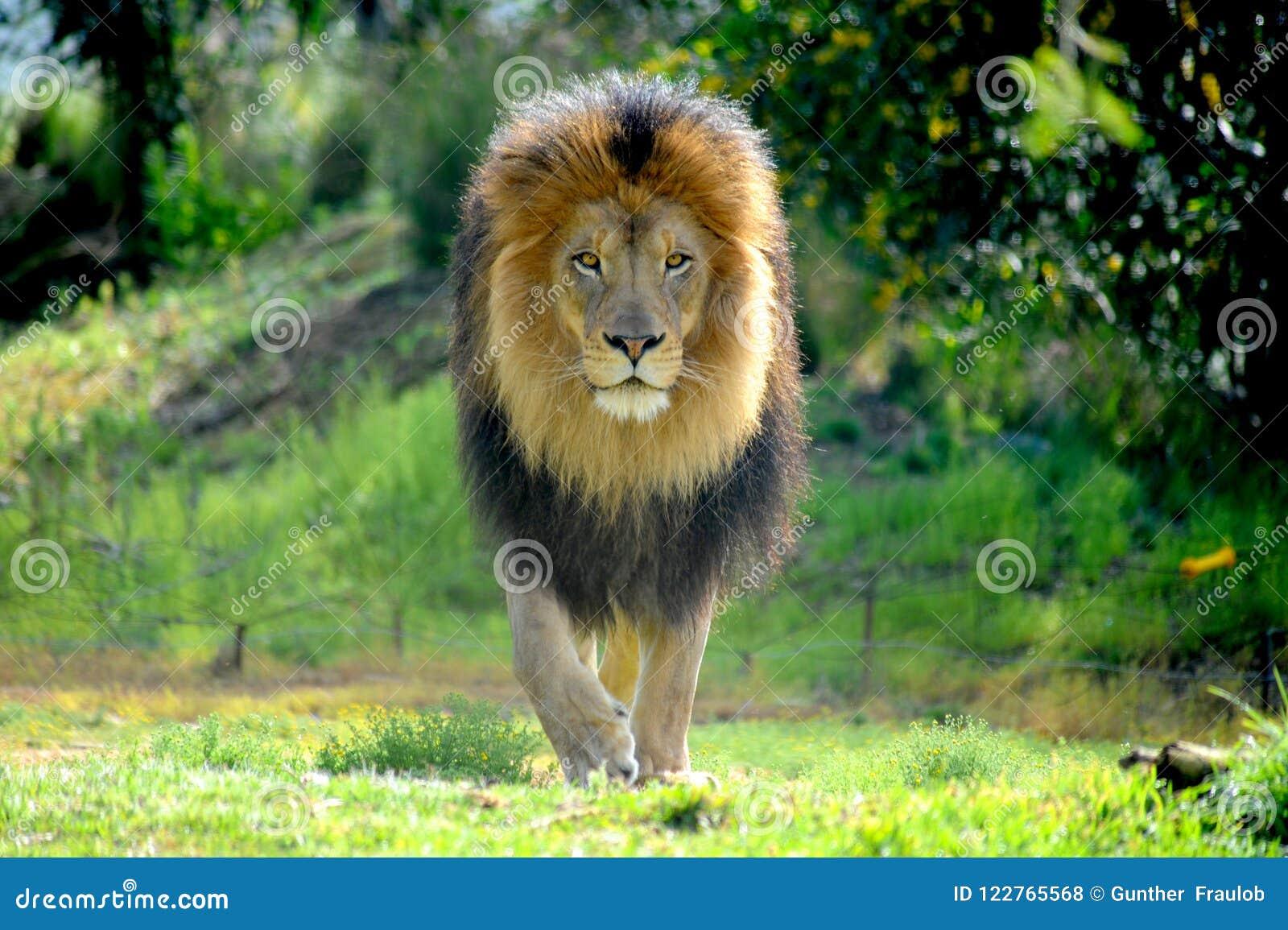 Мужской лев распарывая его вещество и защищая его гордость