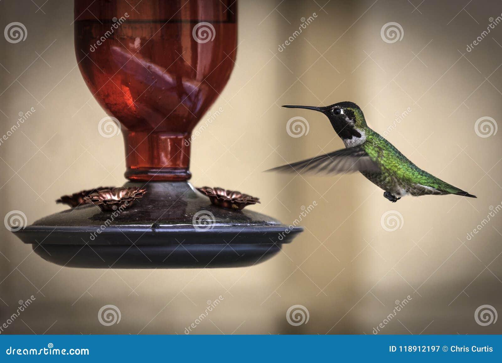 Мужской обширный замкнутый колибри сфотографированный на фидере