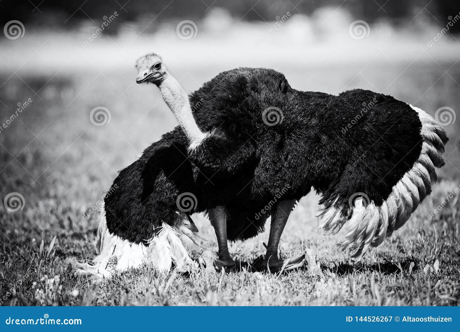 Мужской страус выполняя танец ухаживания на преобразовании короткой травы художественном