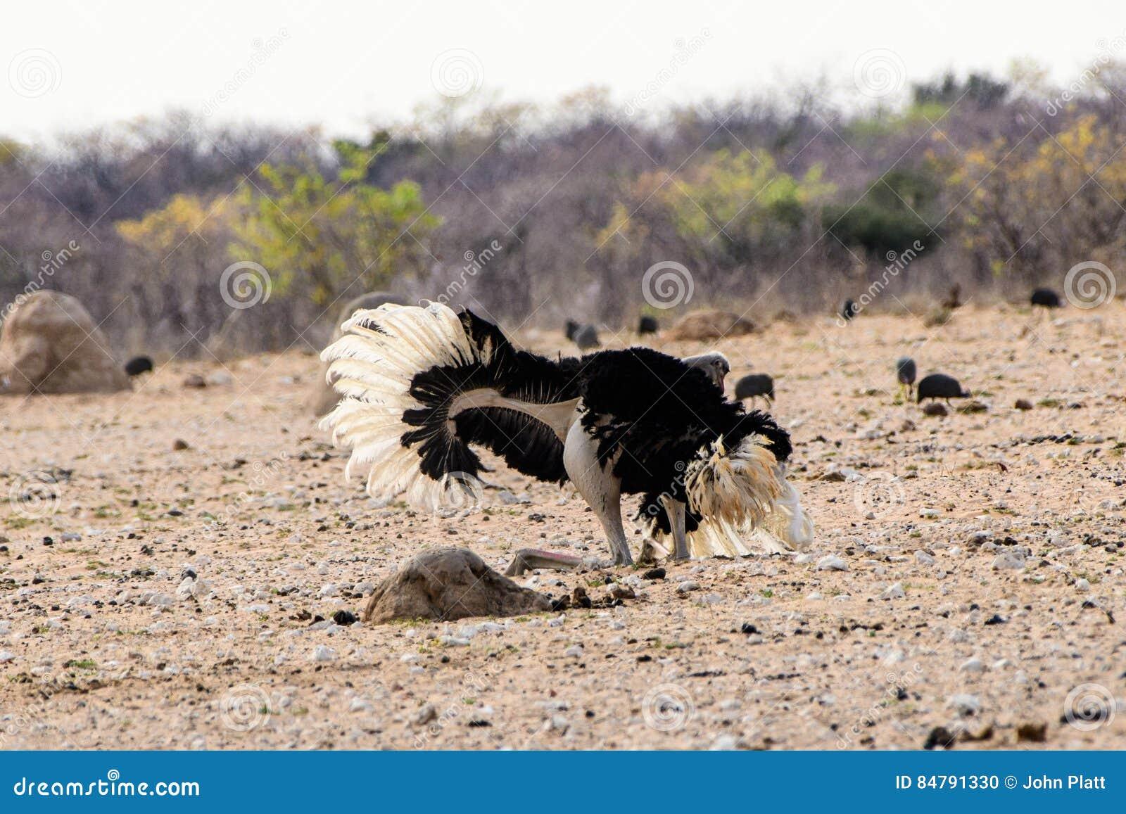 Мужской танец ухаживания страуса