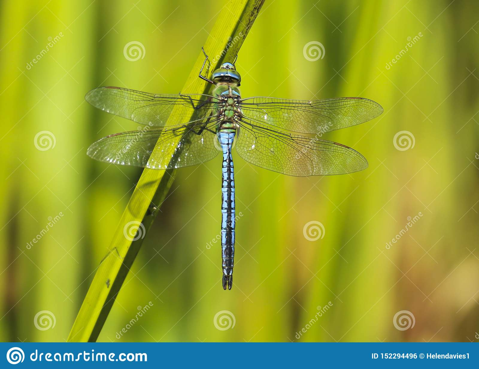 Мужской dragonfly императора, насекомое Anax Imperator