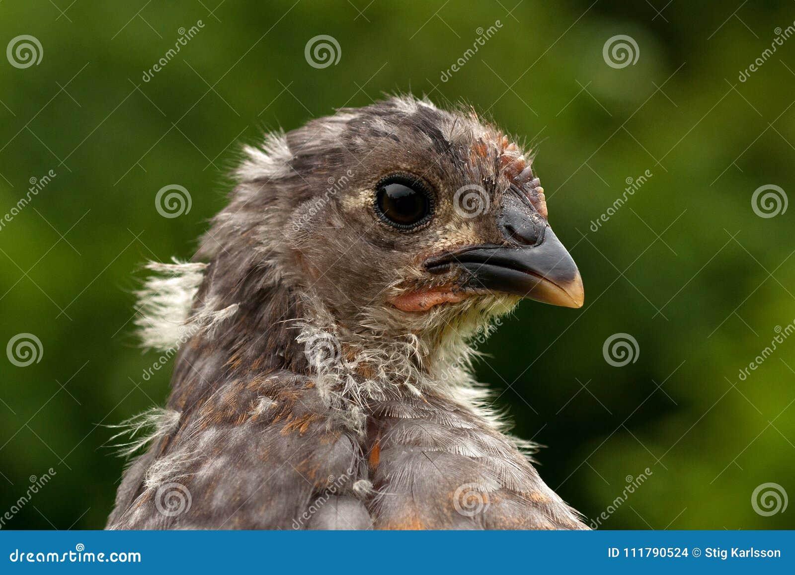 Мужчина цыпленка 4 недель старый, от породы Hedemora в Швеции