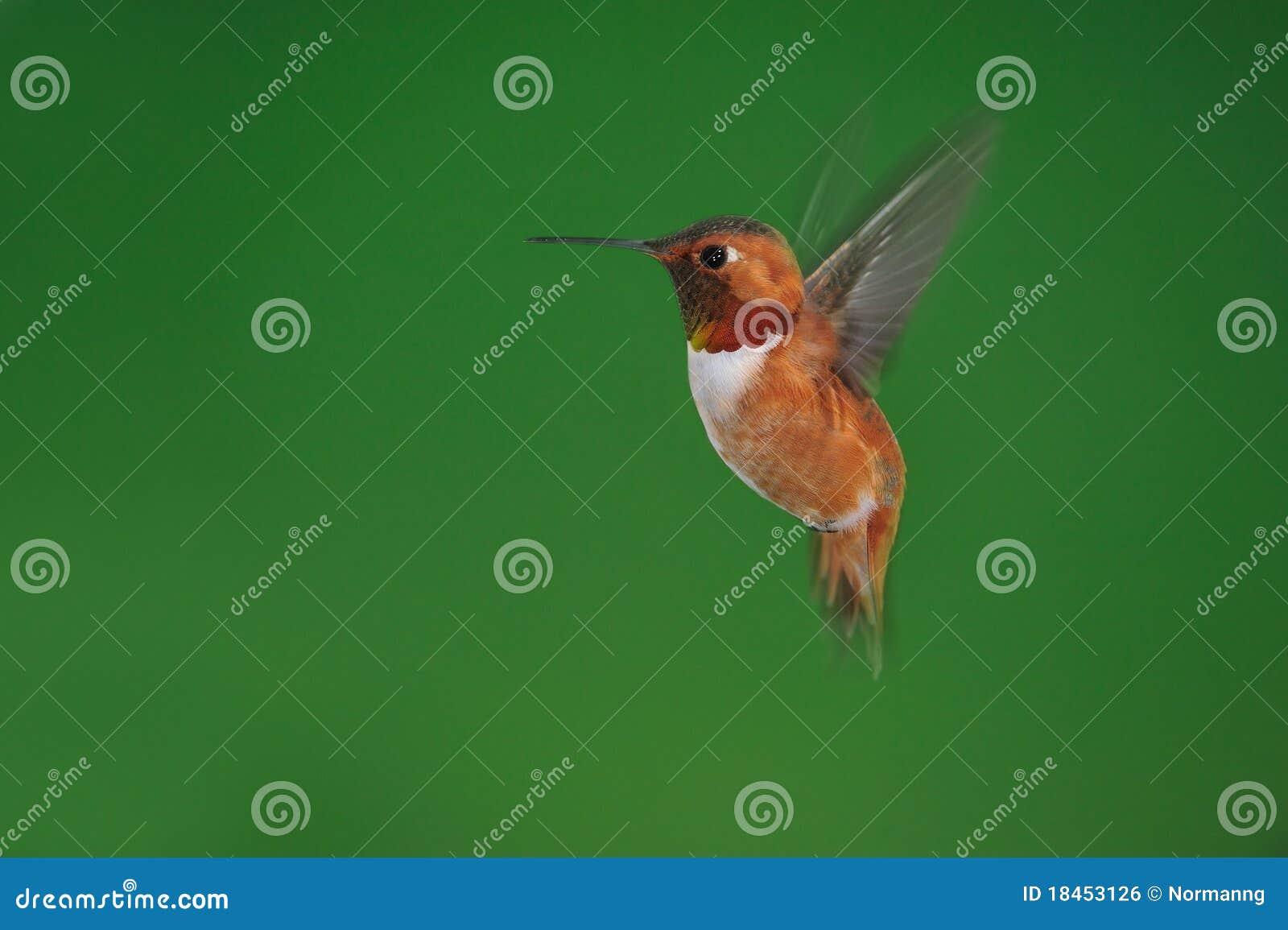 мужчина hummingbird rufous