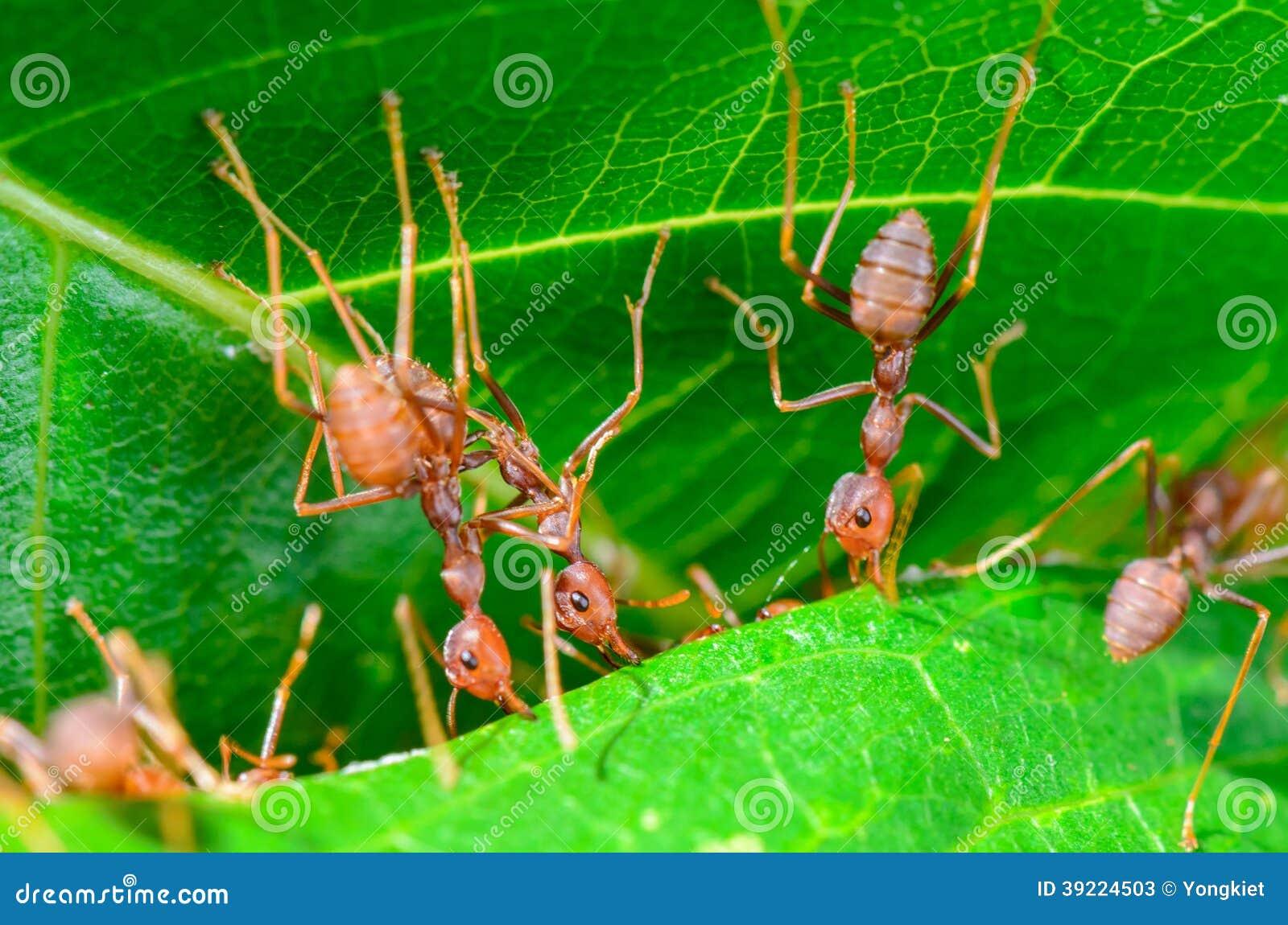 Муравьи ткача или зеленые муравьи (smaragdina Oecophylla)