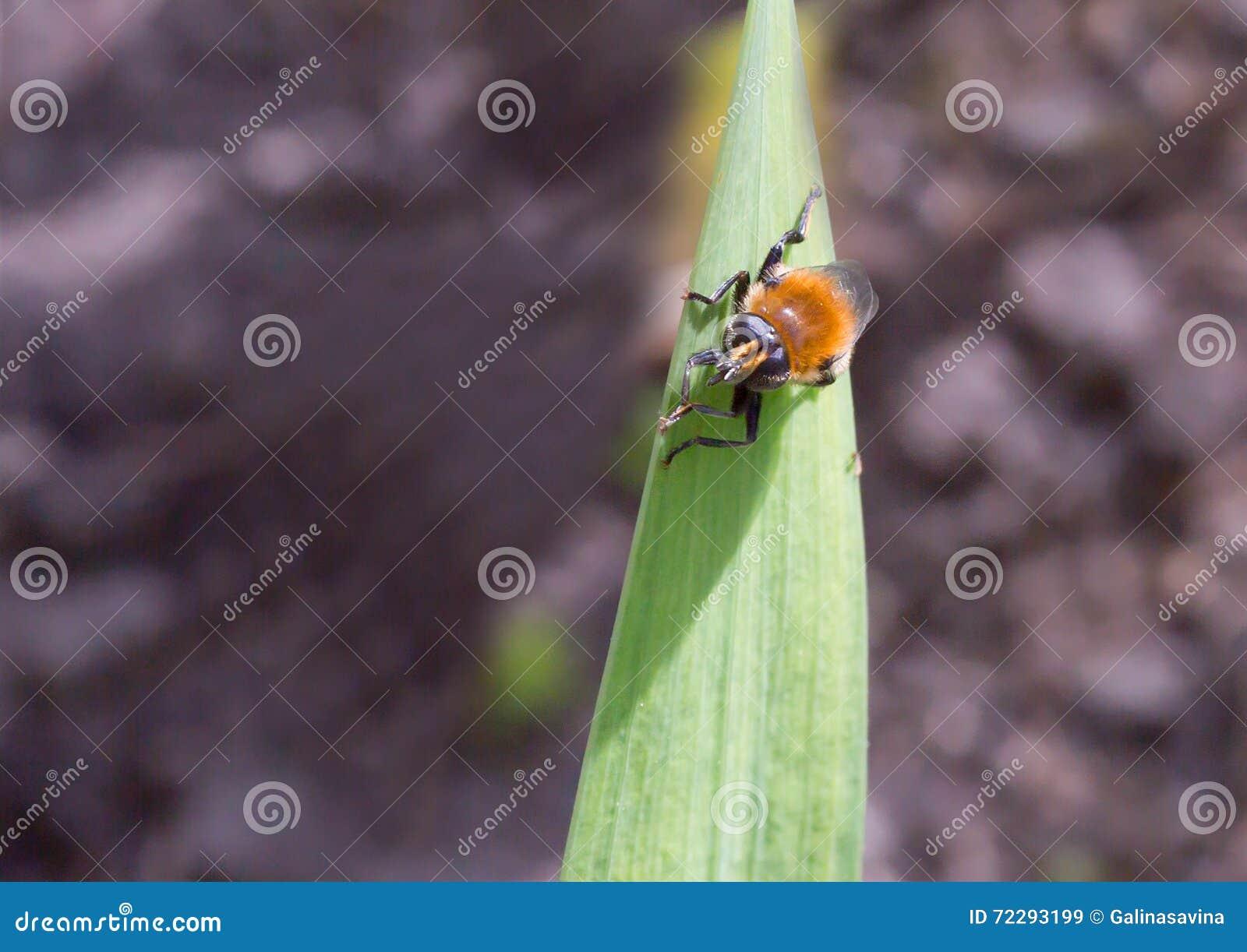 Download Муха как шмель стоковое изображение. изображение насчитывающей крыла - 72293199