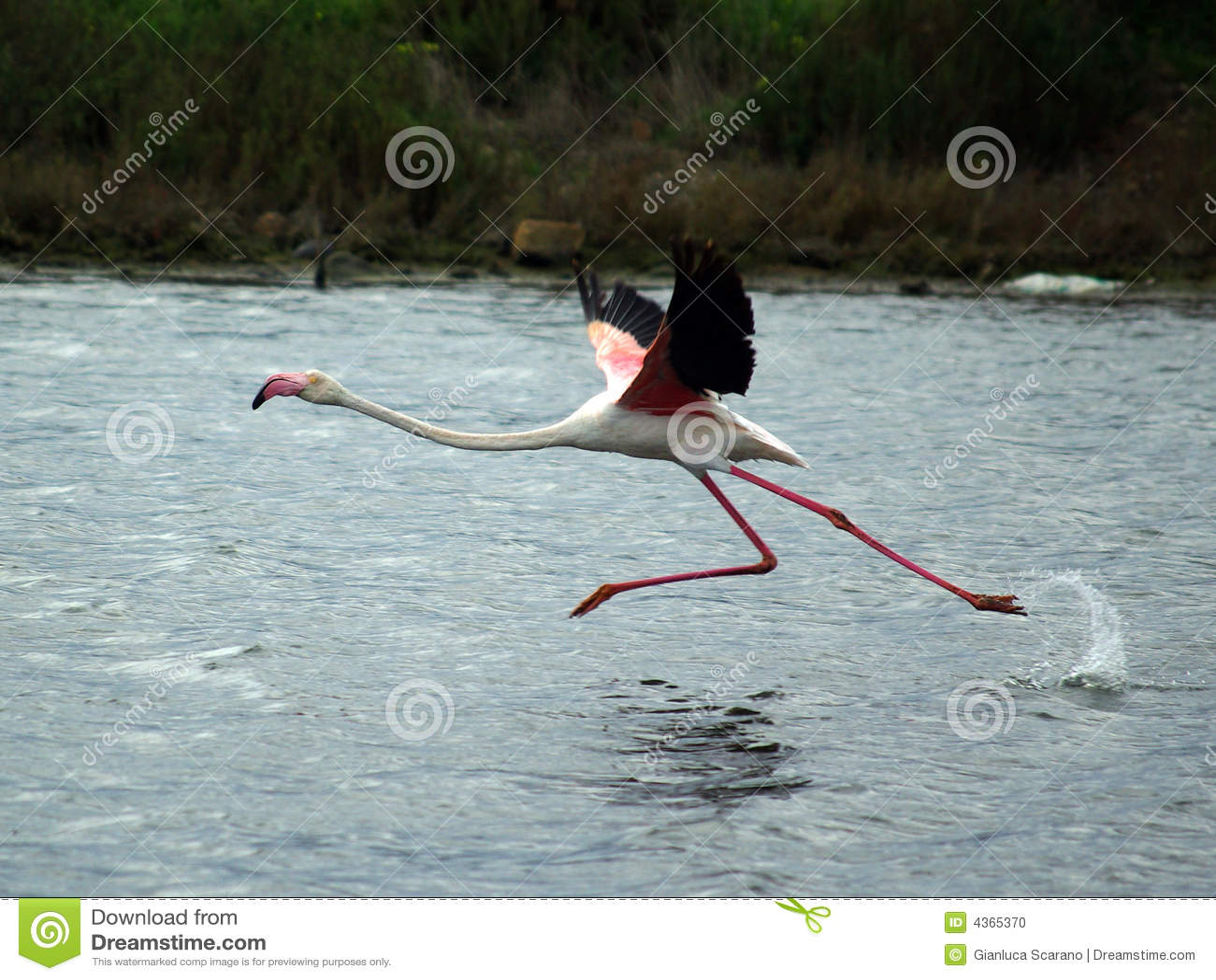 муха фламингоа готовая к