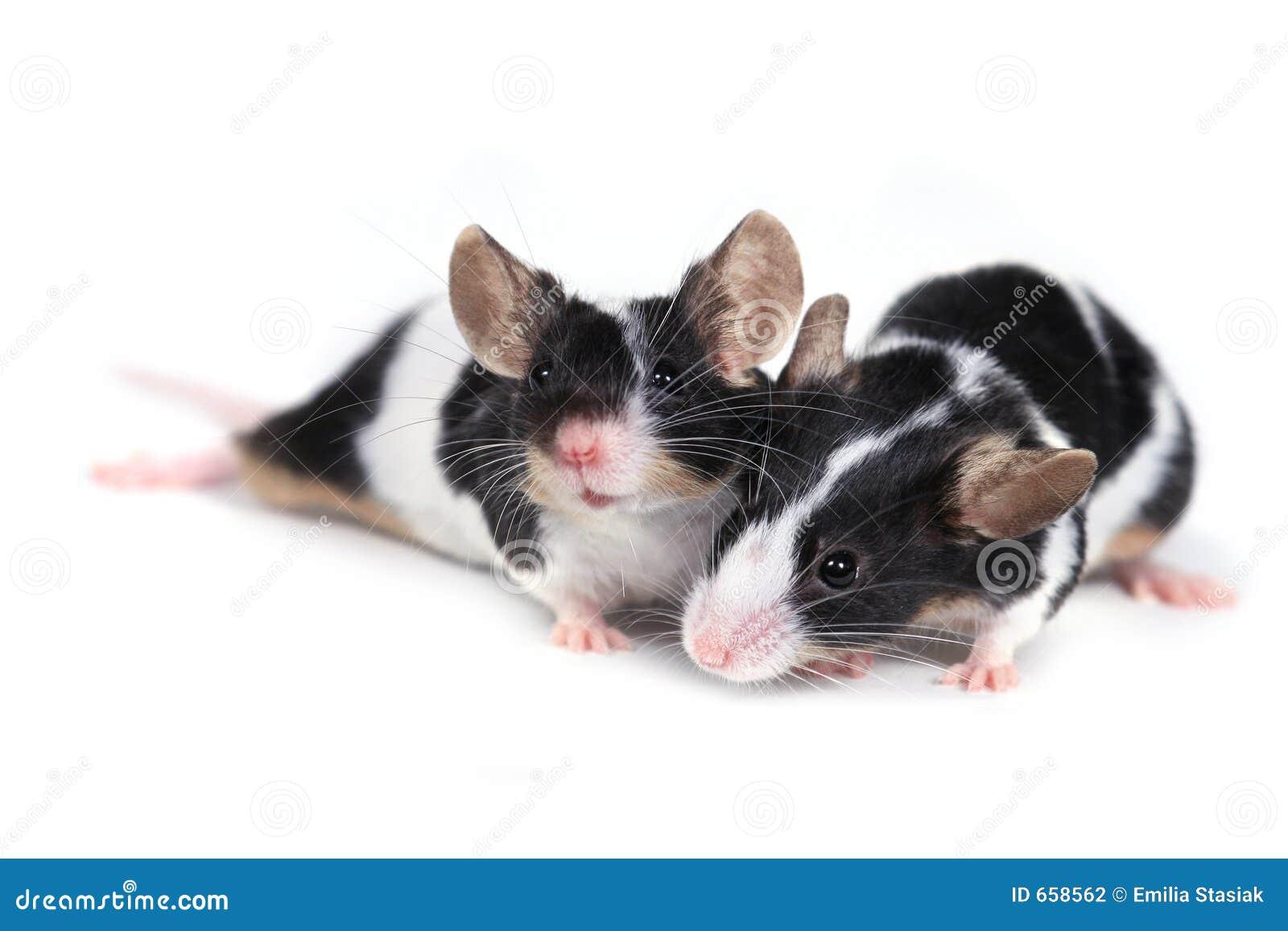 мыши пар
