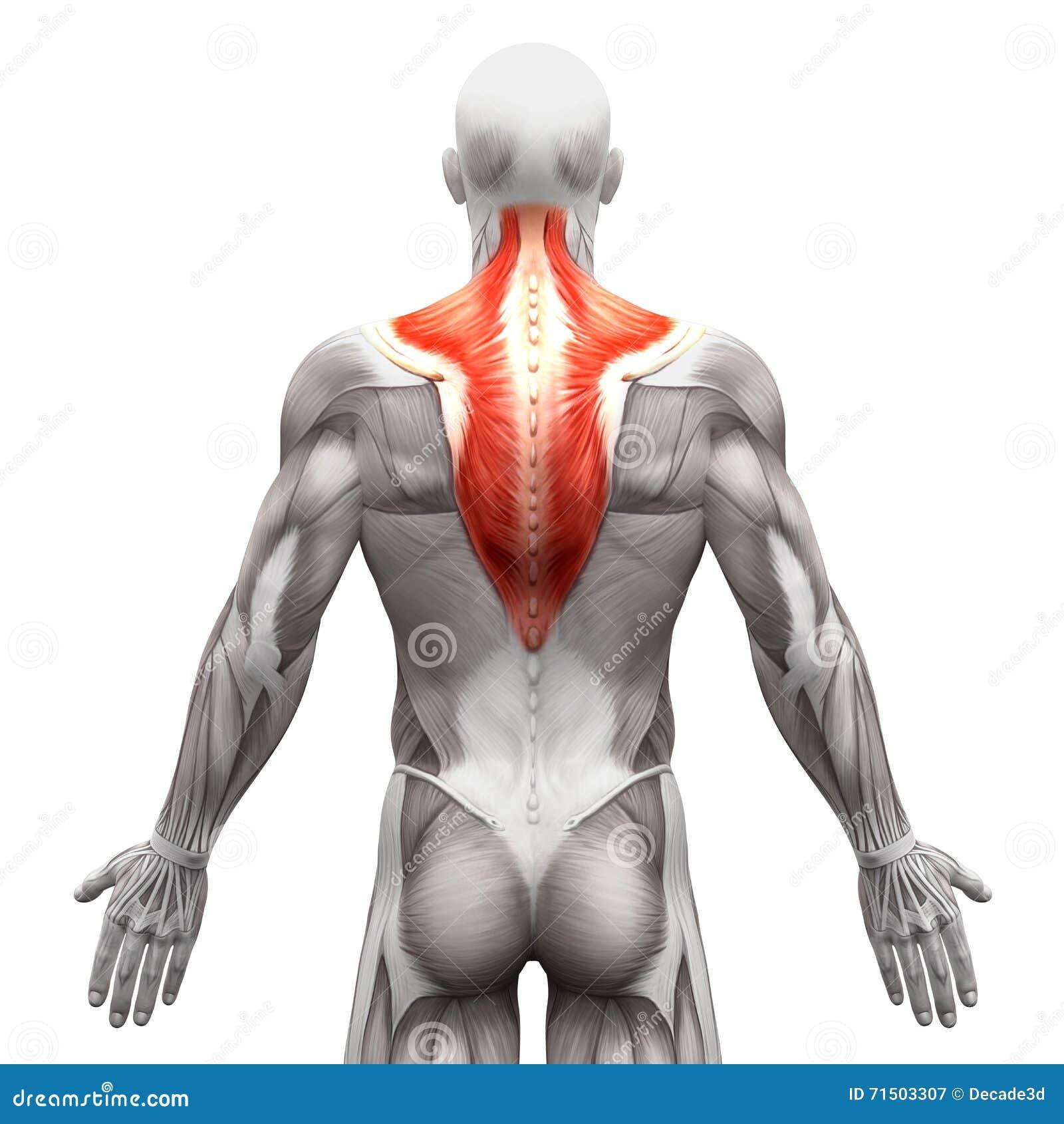 Мышца Trapezius - мышцы анатомии изолированные на бело- illust 3D