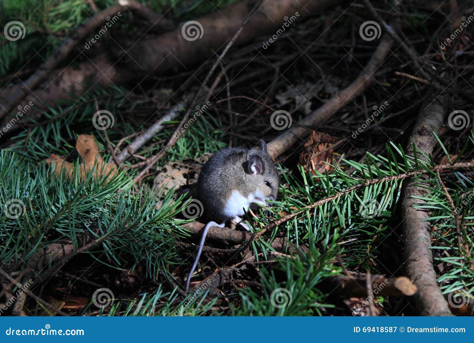 Мышь на поле леса