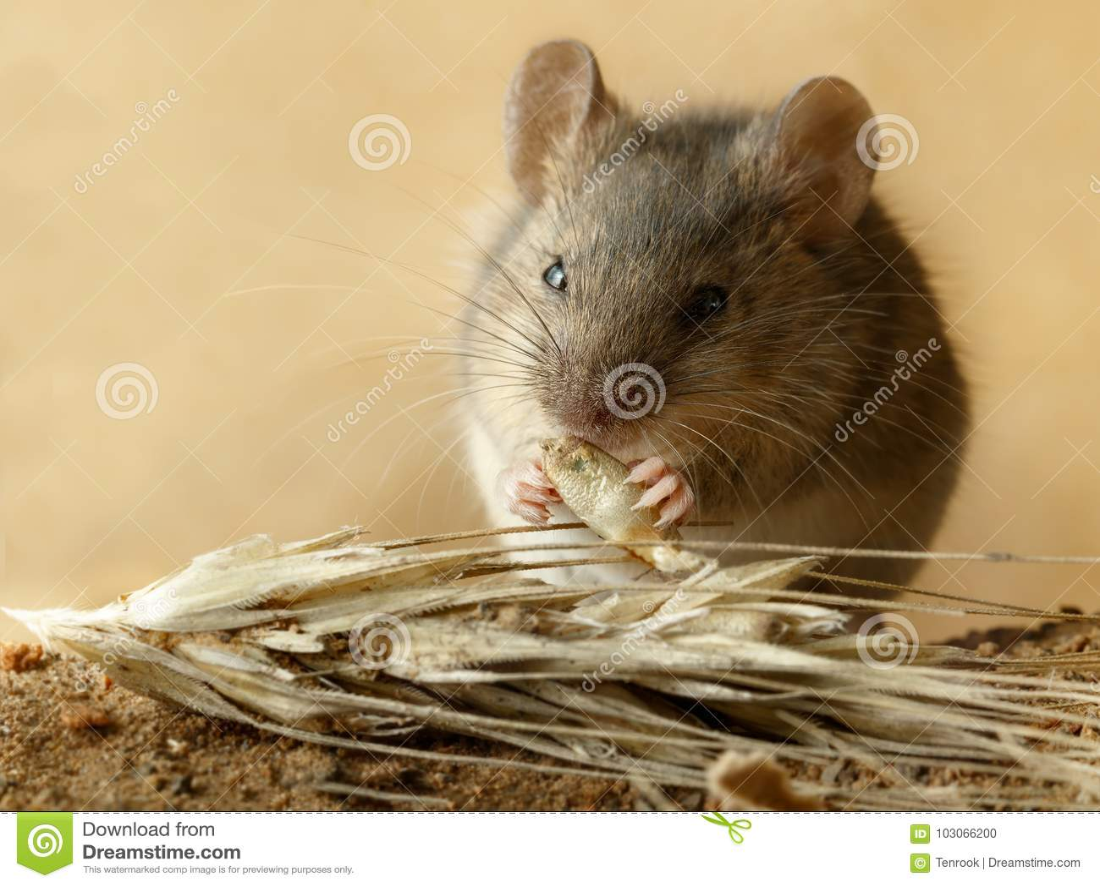 Мышь полевки крупного плана малая ест зерно рож около колоска рож на поле