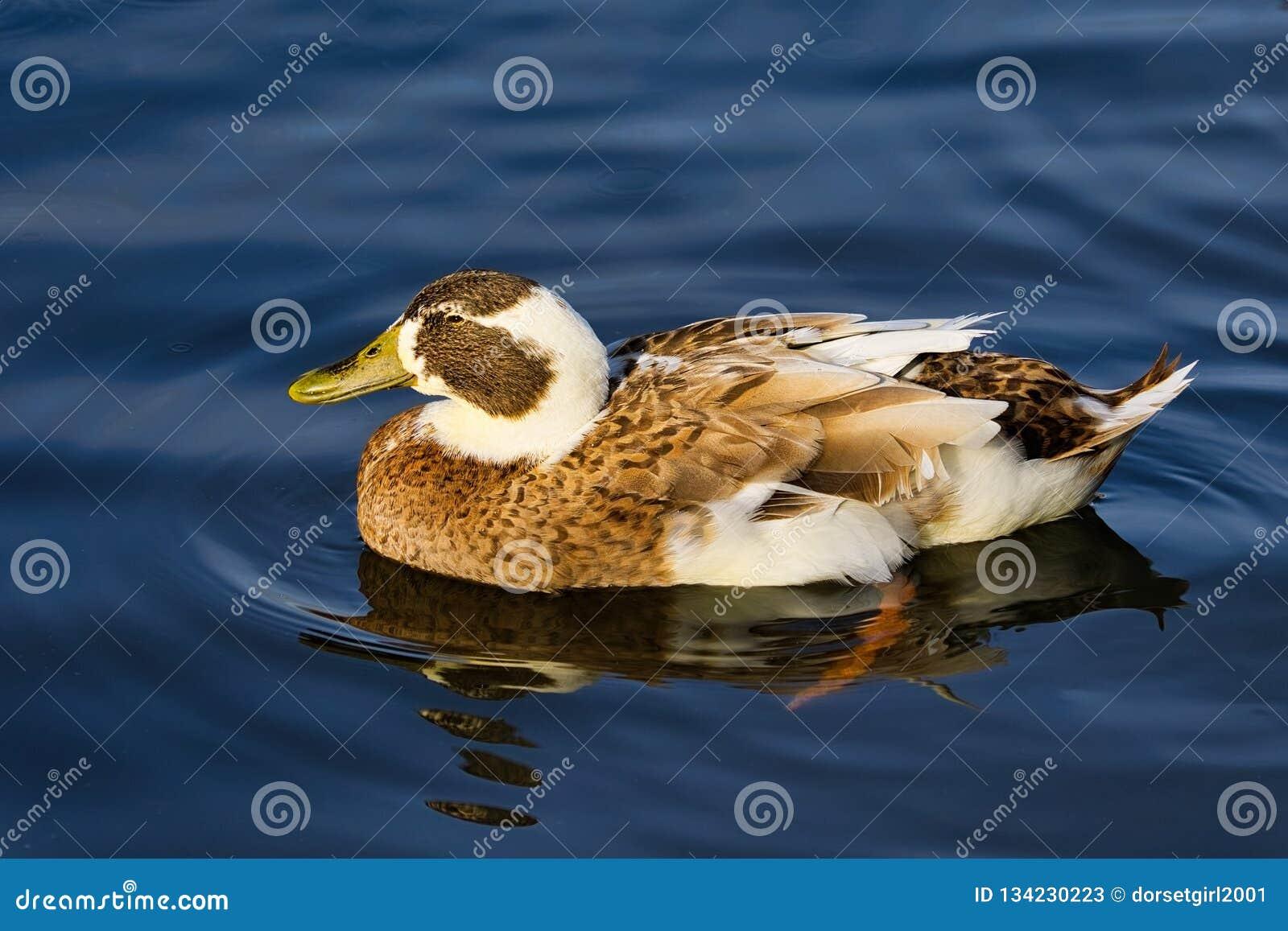 Мягкий Браун и белое плавание утки
