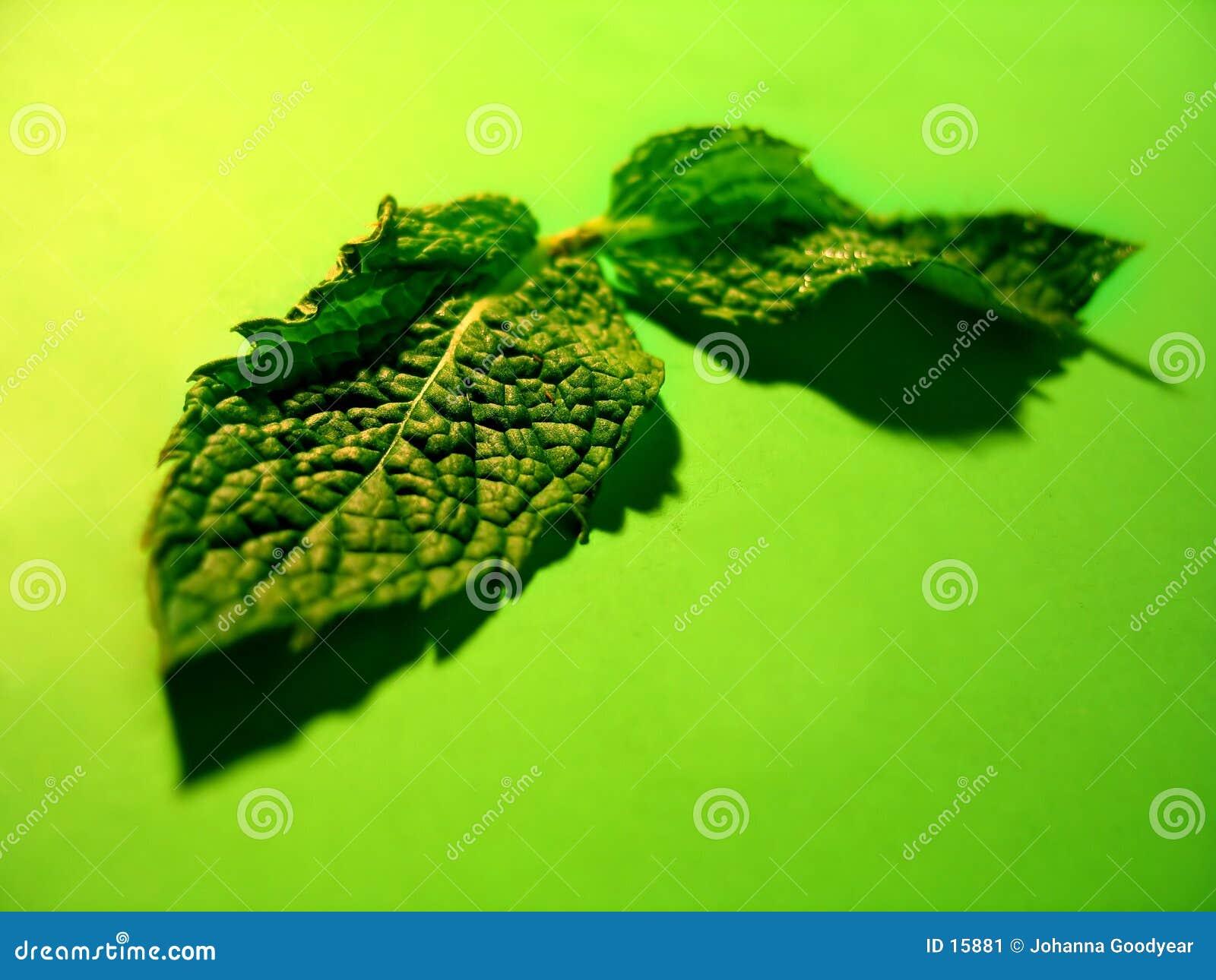 мята листьев