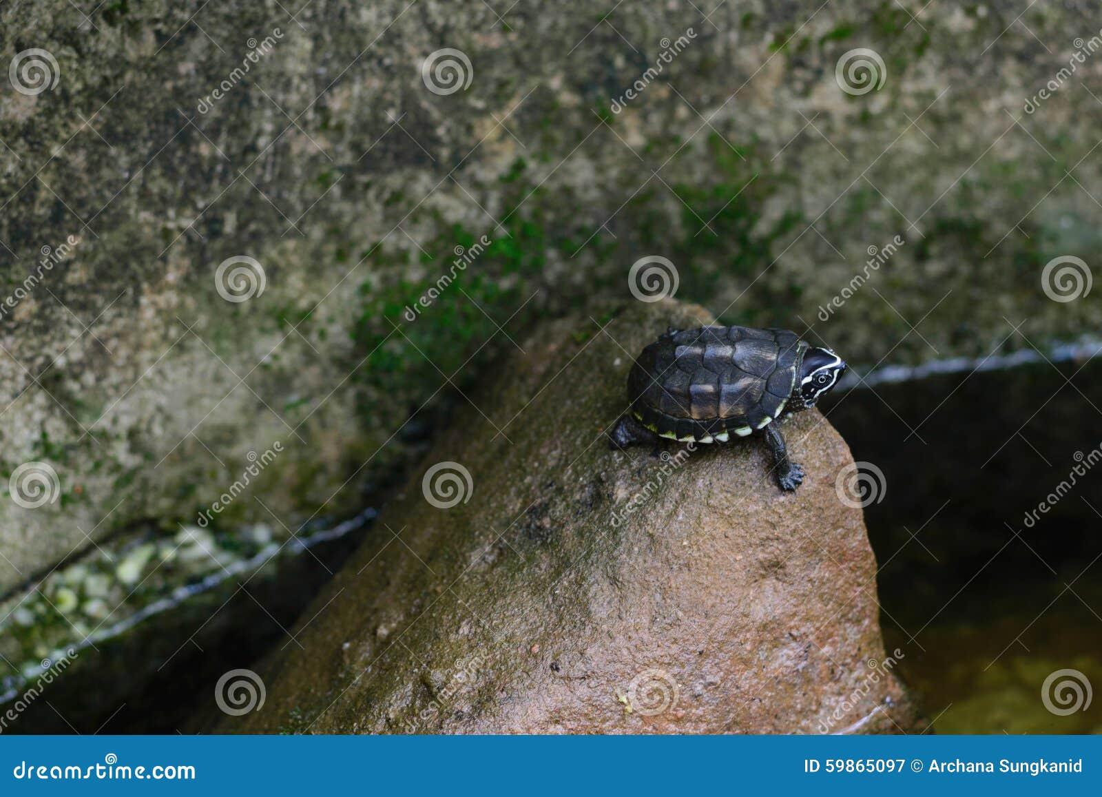 Младенец черепахи