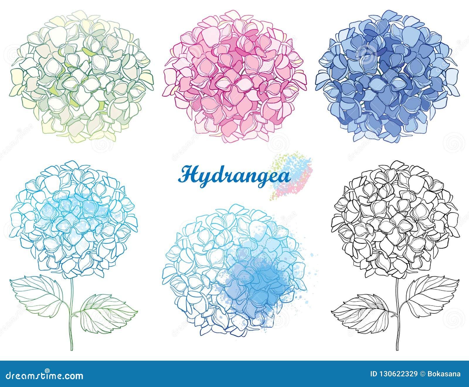 Набор руки вектора вычерченный пук цветка гортензии или Hortensia плана в пастельное розовом и голубом изолированный на белой пре