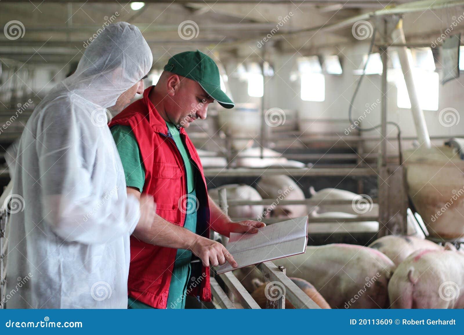 Наемные сельскохозяйственные рабочие свиньи