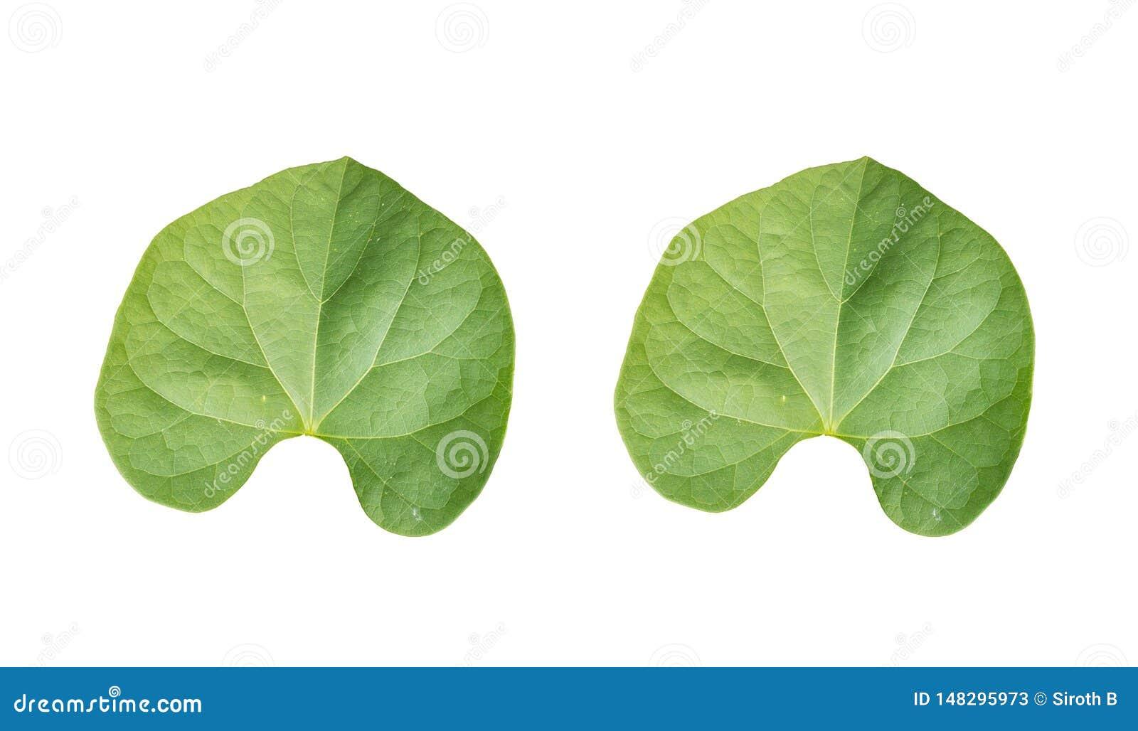 Назад листвы пар зеленой тропической на белых предпосылках