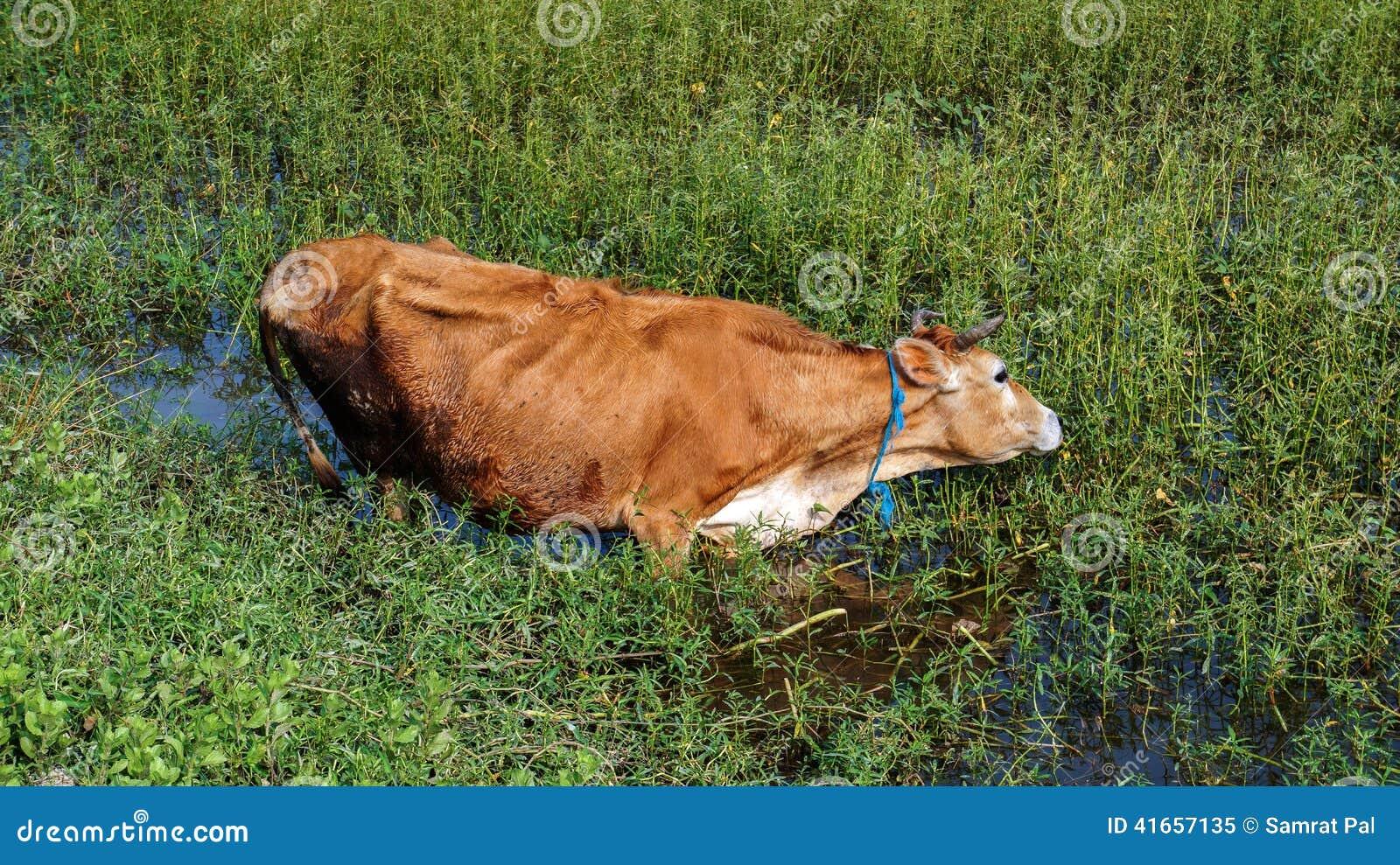 Намочите корову в пруде