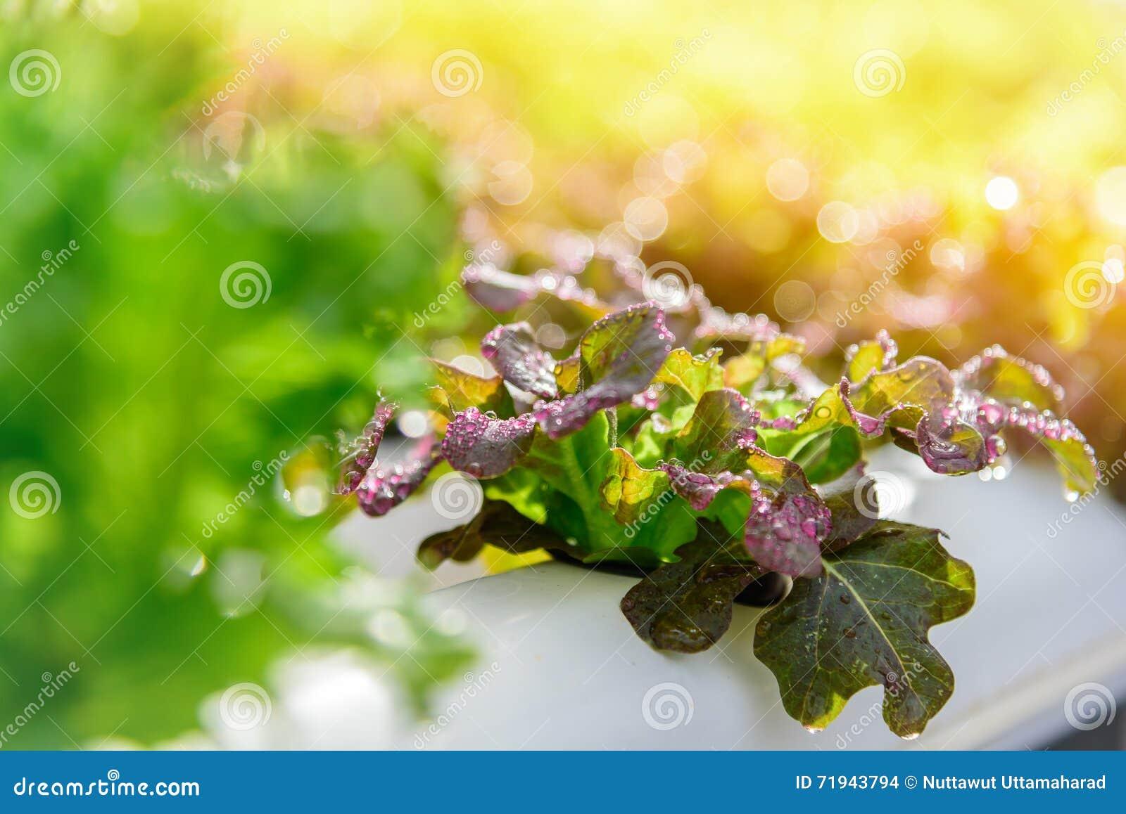 Намочите падение на красной ферме овоща гидропоники салата batavia