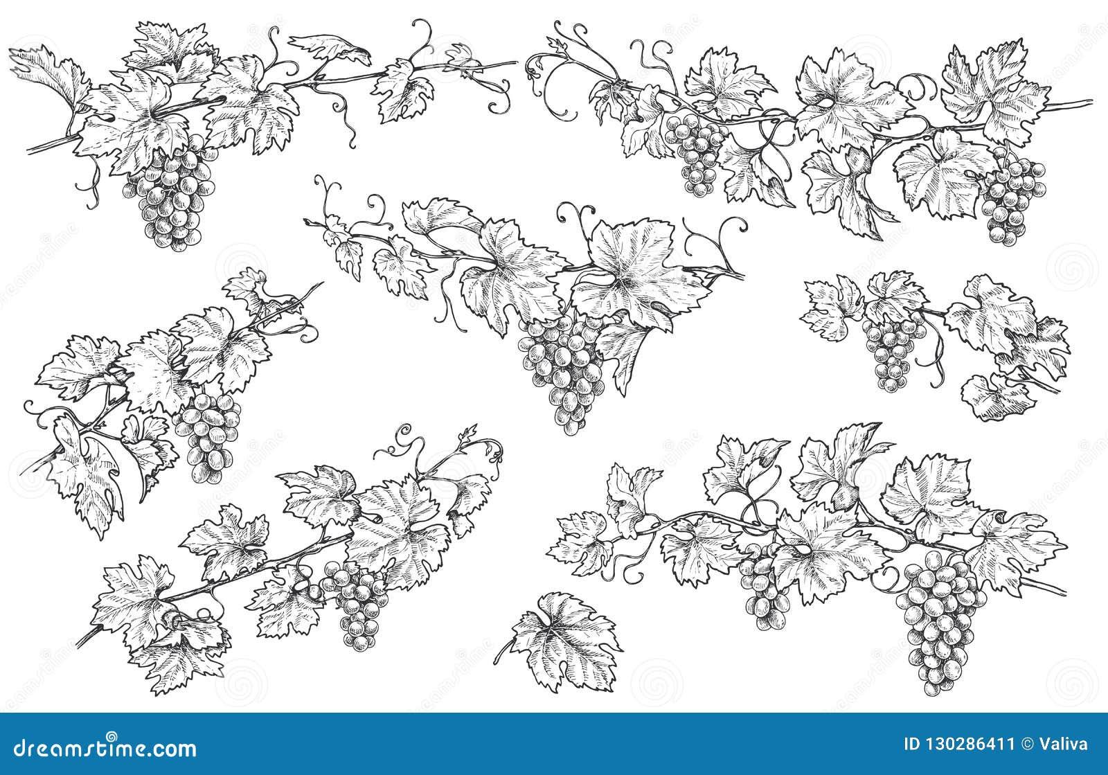 Нарисованные рукой установленные ветви виноградины