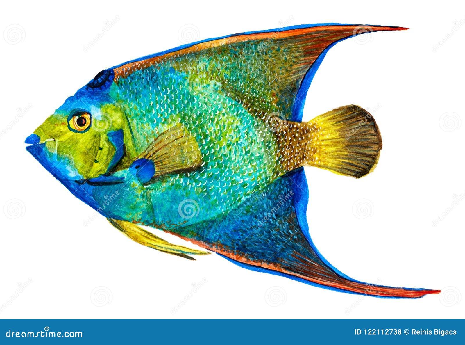 Нарисованный рукой Angelfish ферзя изолированный на белизне