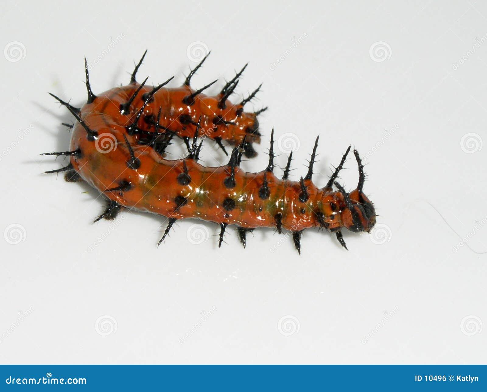 насекомое гусеницы