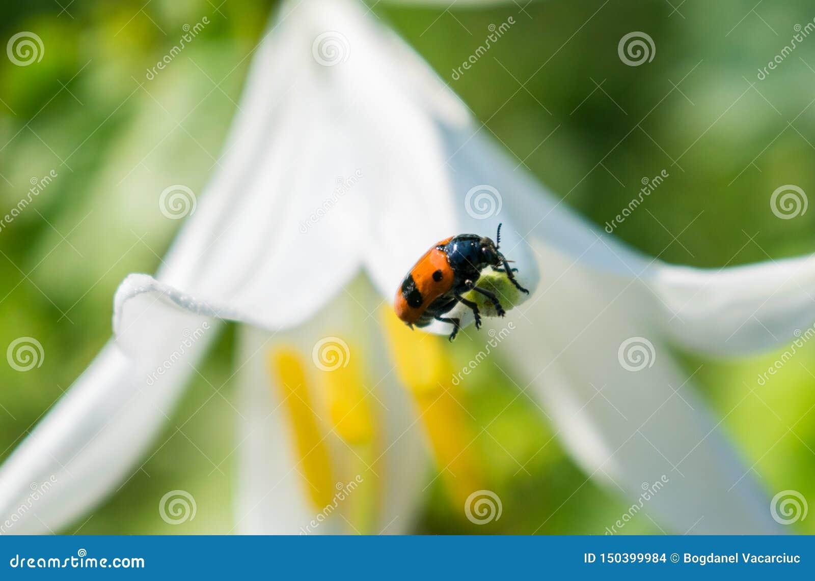 Насекомое которое в большой зацветая лилии