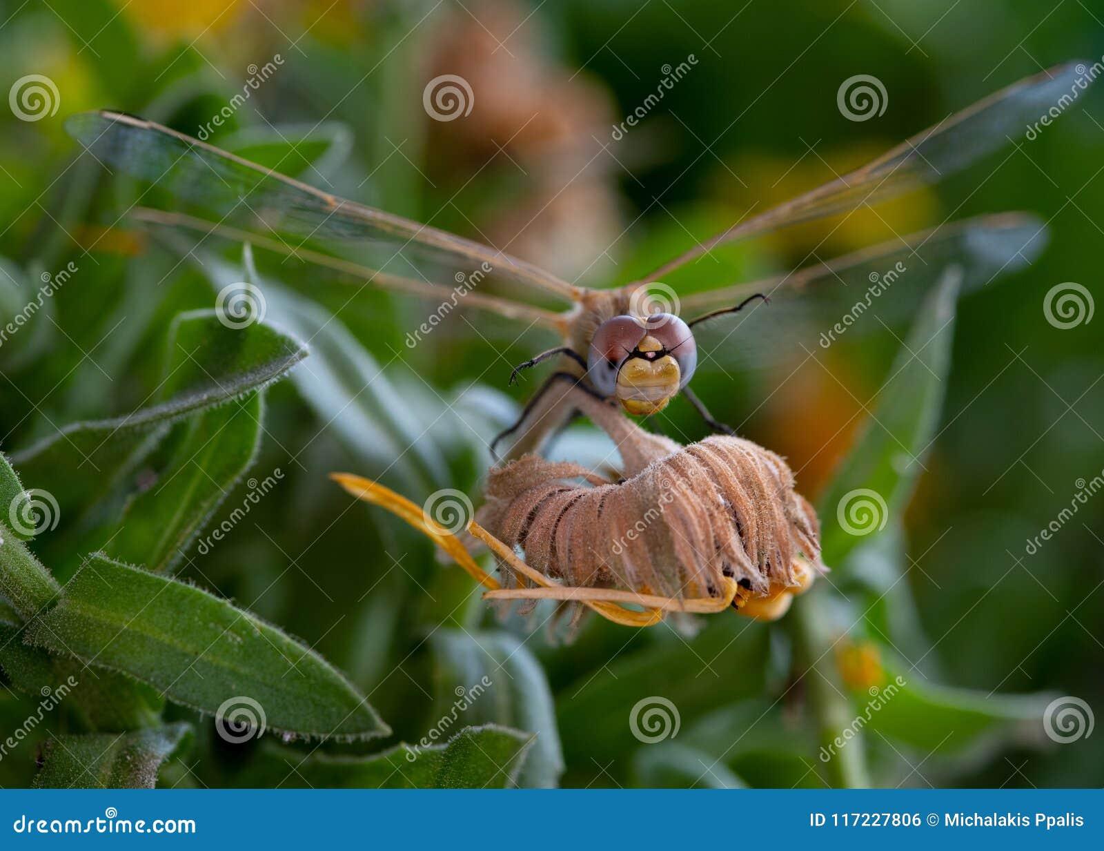Насекомое Dragonfly отдыхая на желтом цвете завяло цветок