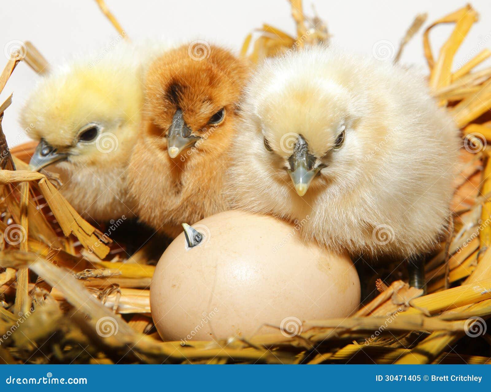 Насиживать цыпленоков цыпленка