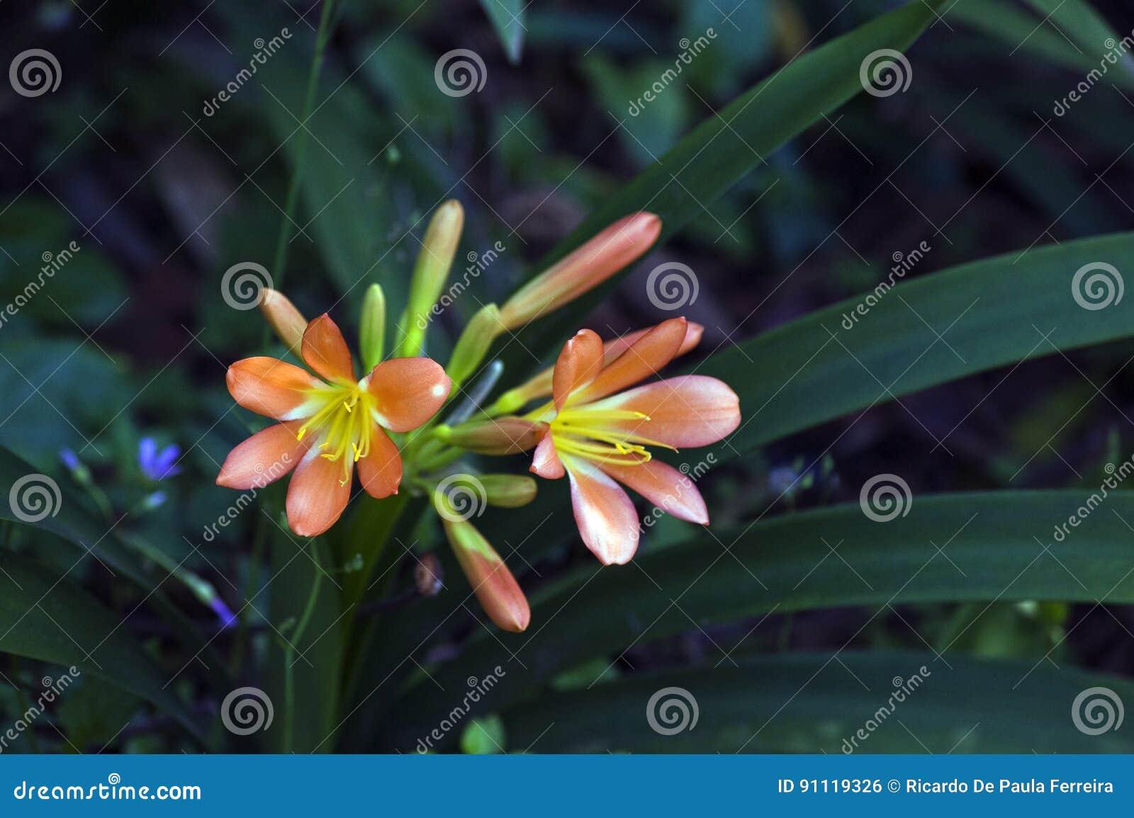 Натальная лилия или Clivia на темной предпосылке сада