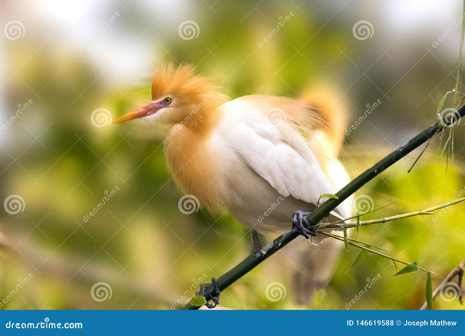 Находят белый egret скотин в бамбуковом береге озера Pokhara Непале деревьев
