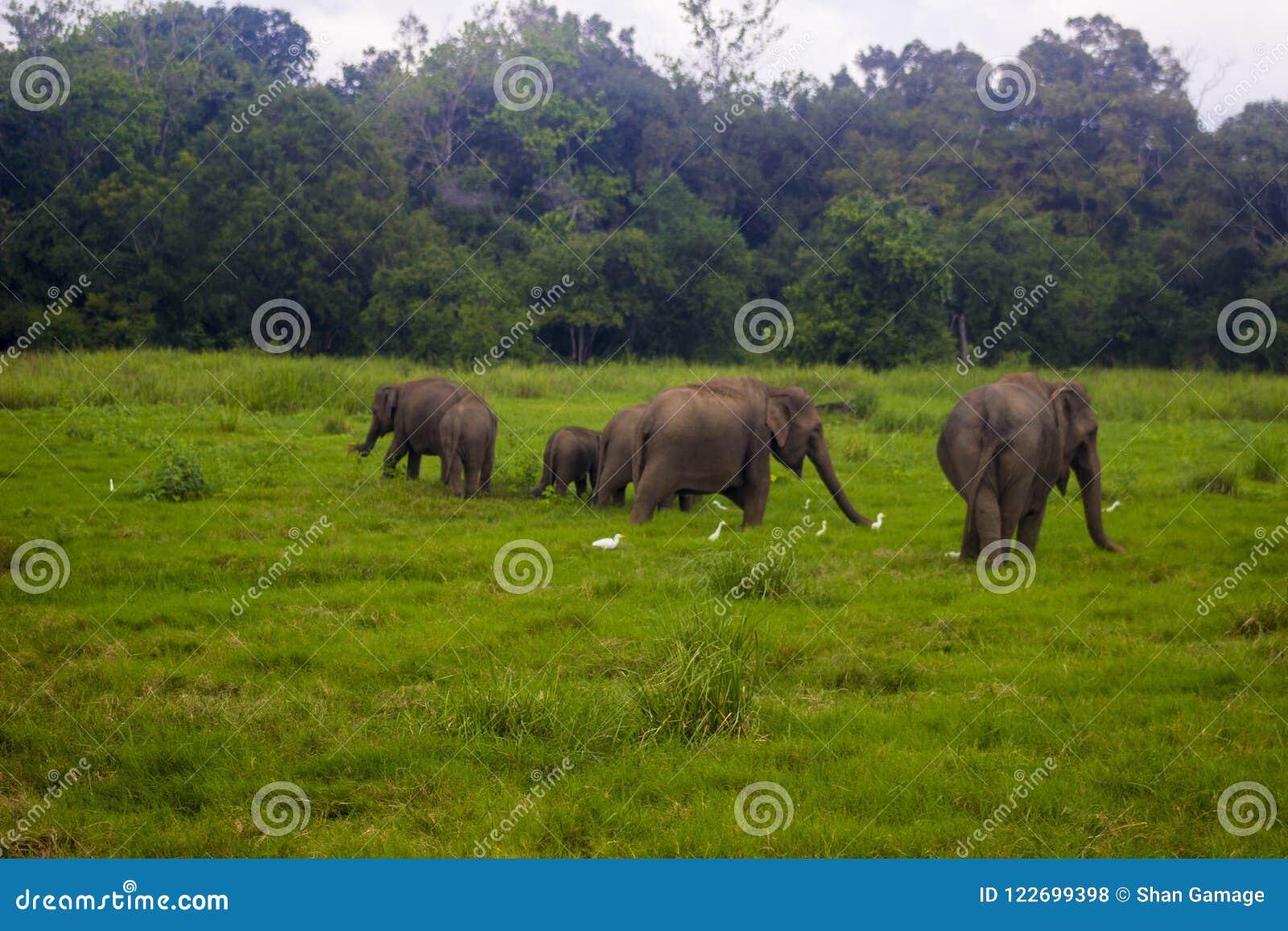 Национальный парк азиатского одичалого minneriya Eliphant - Шри-Ланка