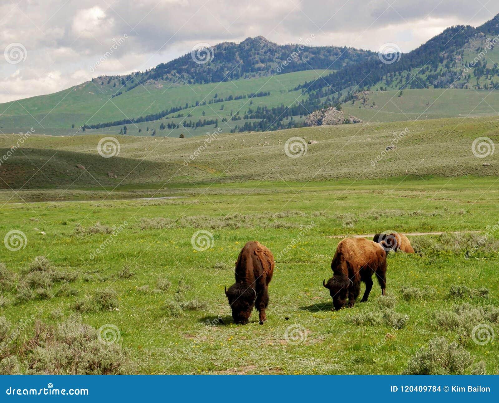 Национальный парк Йеллоустона, пася буйвола