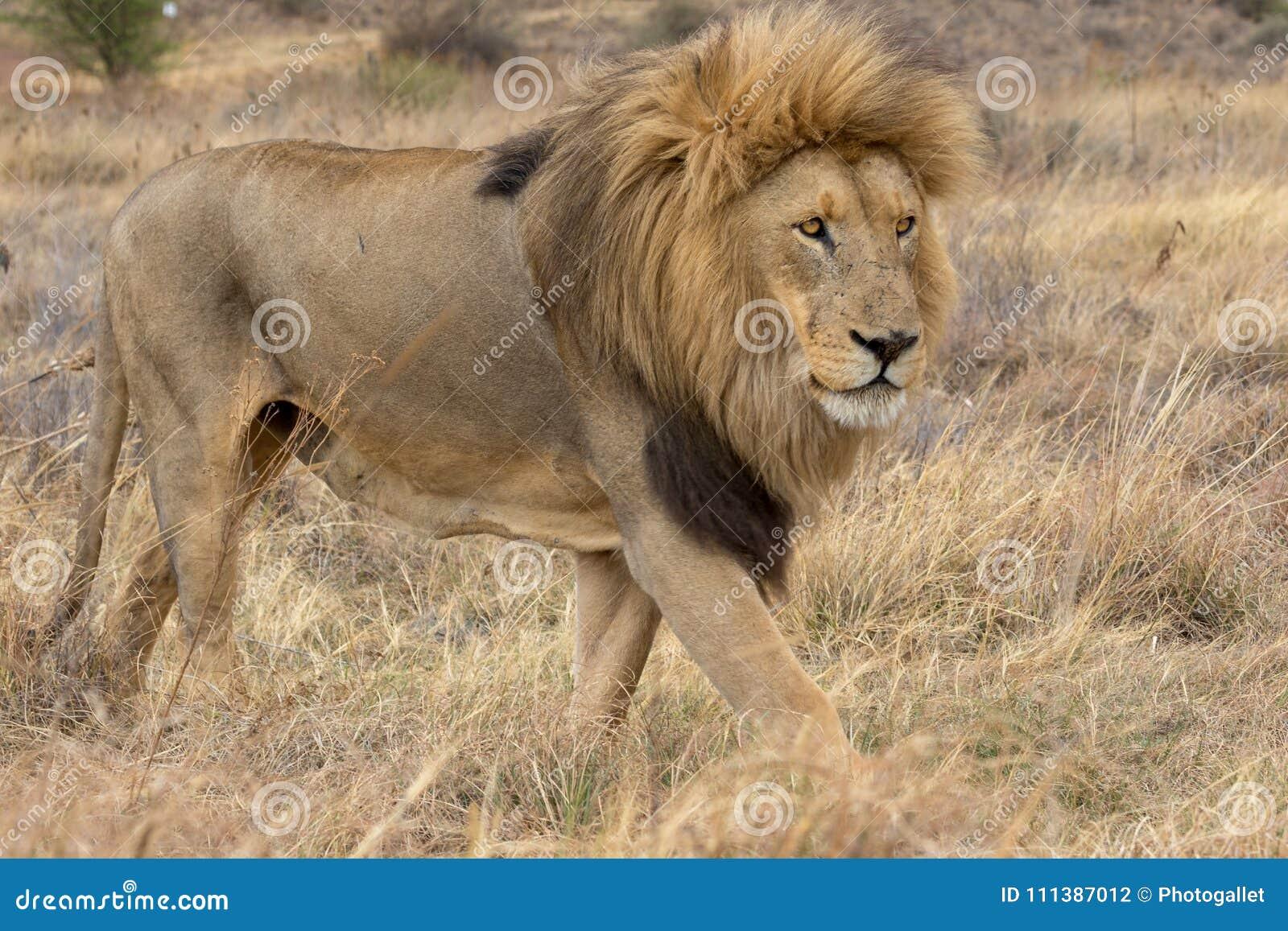 Национальный парк Kruger льва
