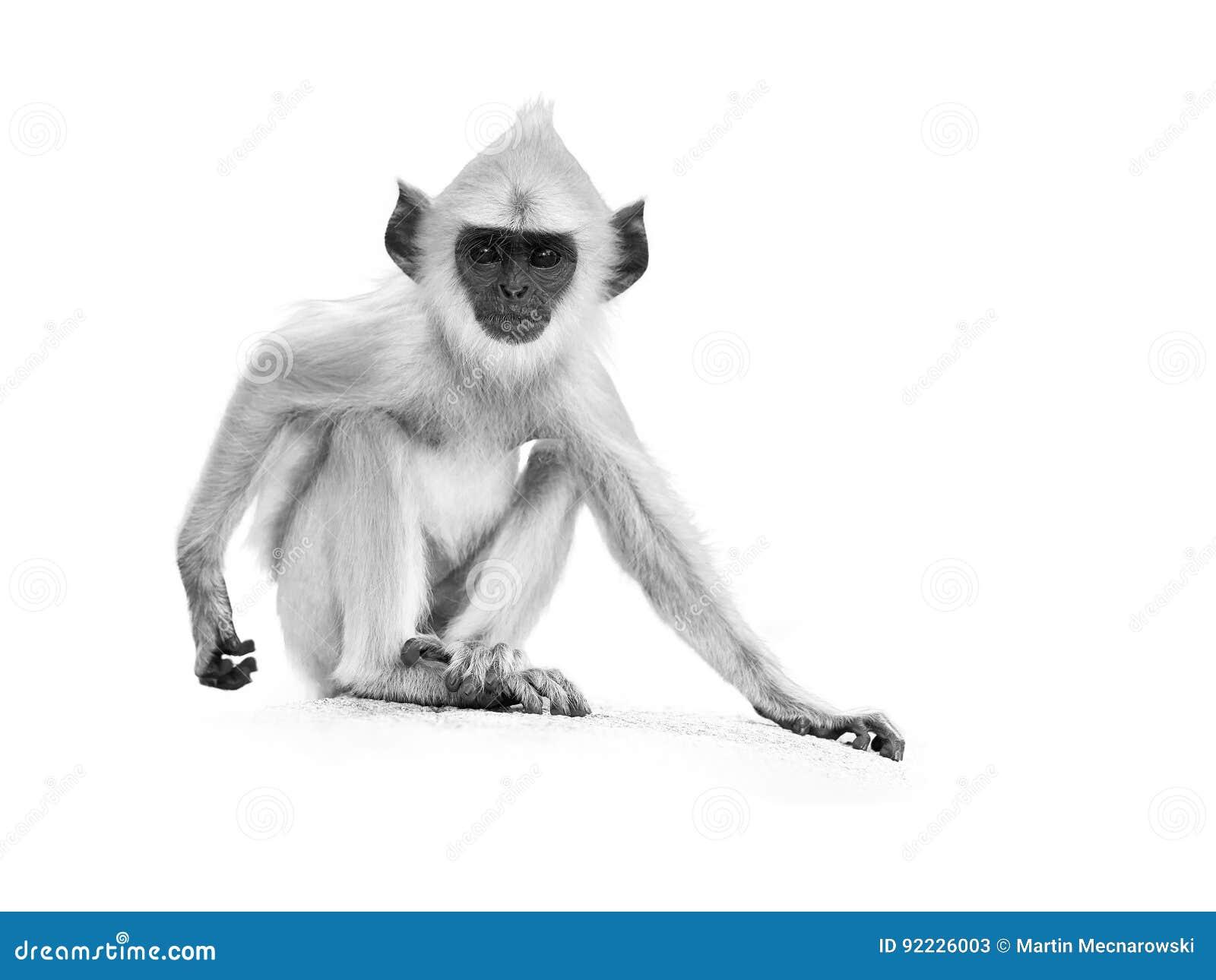 на белизне, серый цвет младенца Langur художнического черно-белого фото серый