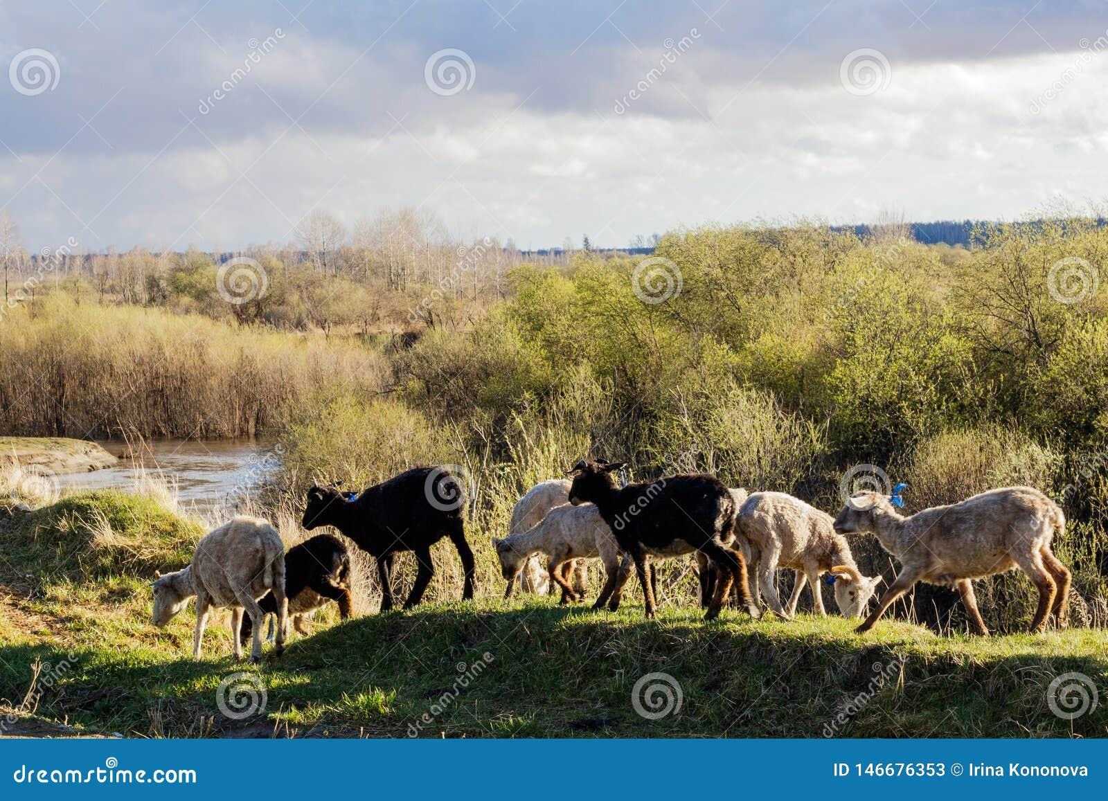 На заходе солнца овцы идут вдоль промоины