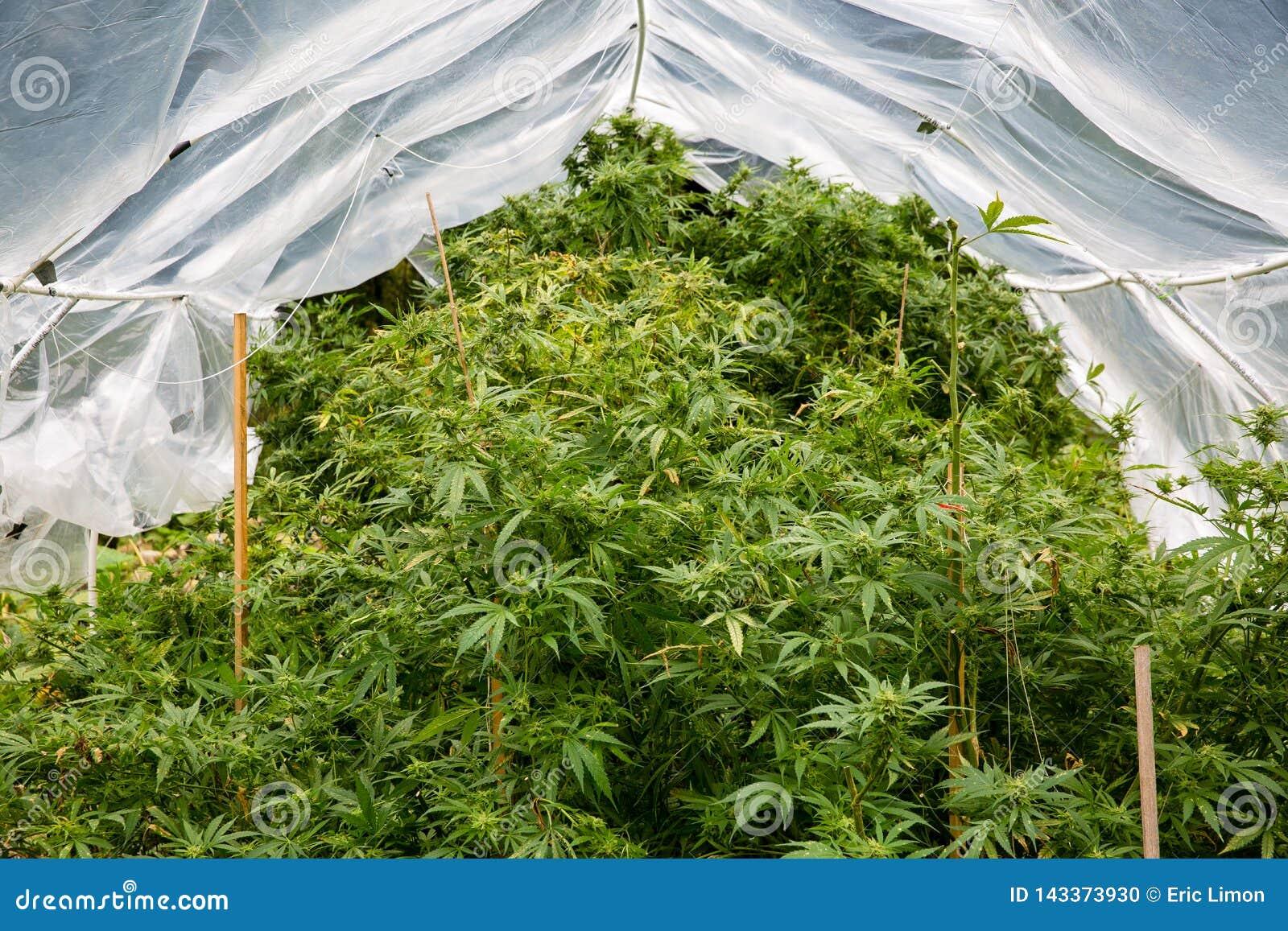Картинки конопли много марихуана в финляндии