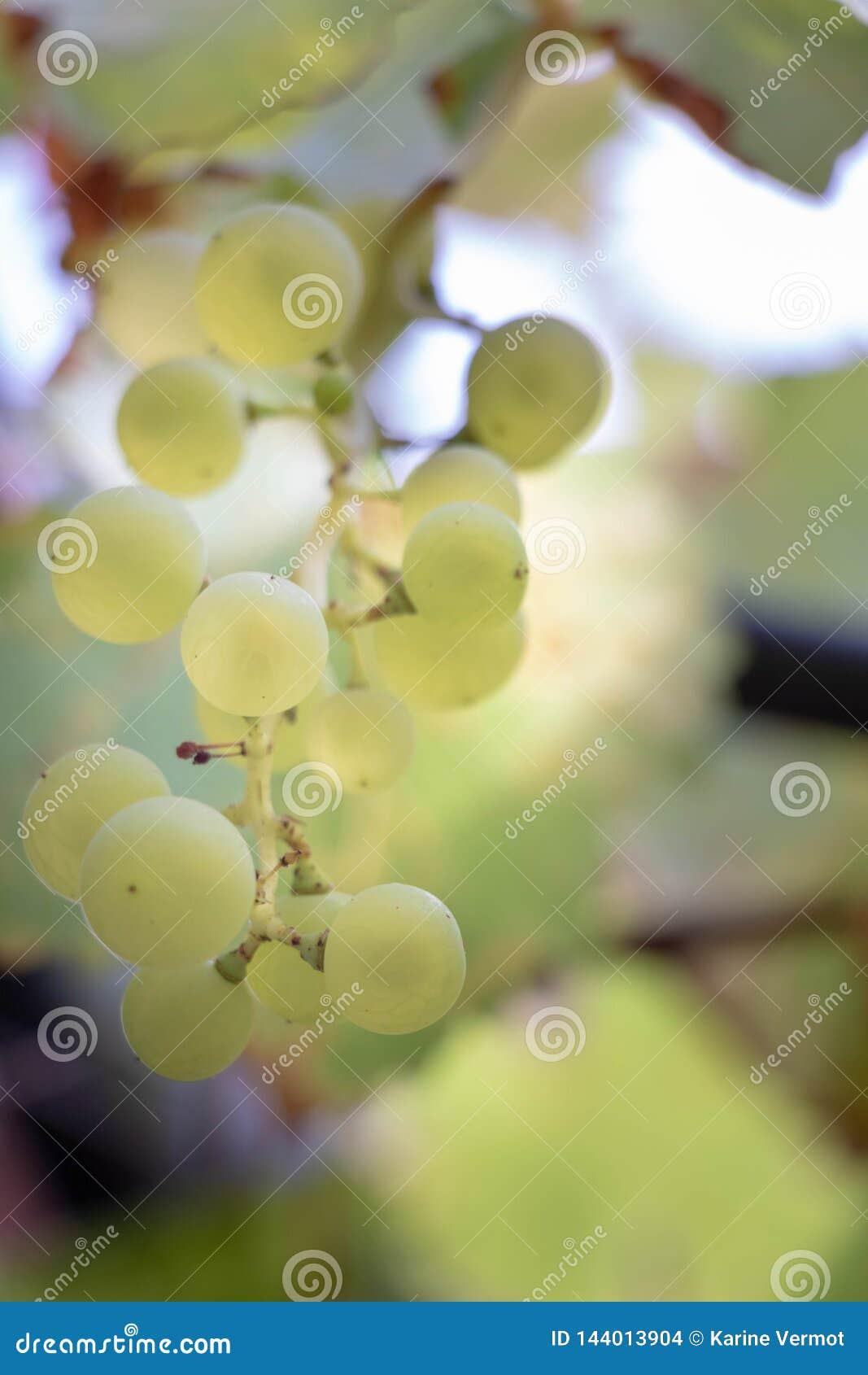 На шпалере в Провансали, пук белых виноградин