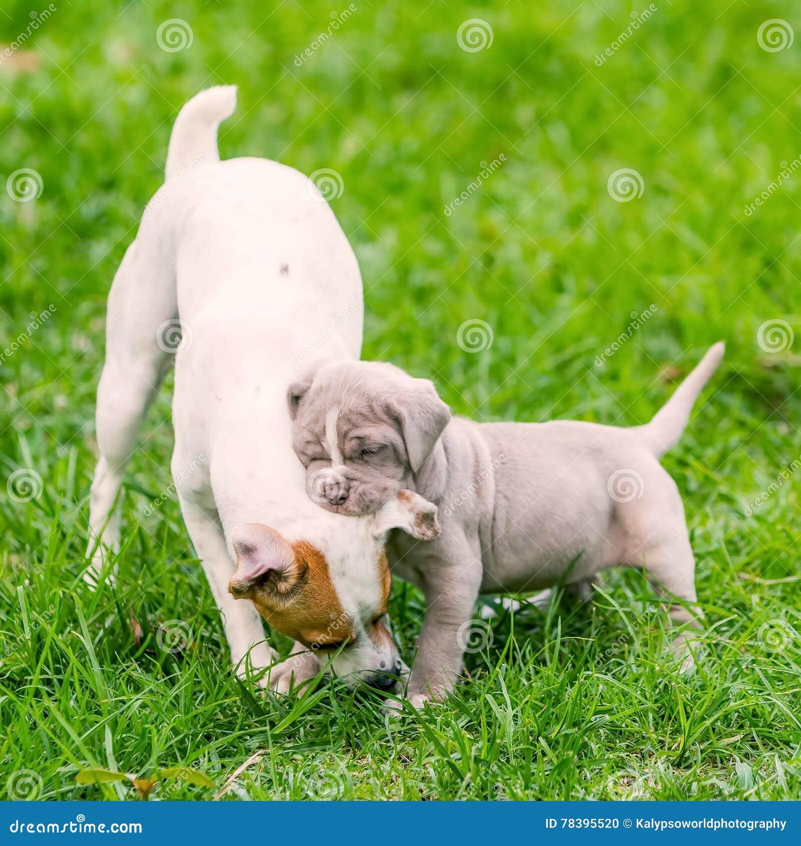 Неаполитанский щенок Mastiff играя с терьером Adu Джека Рассела