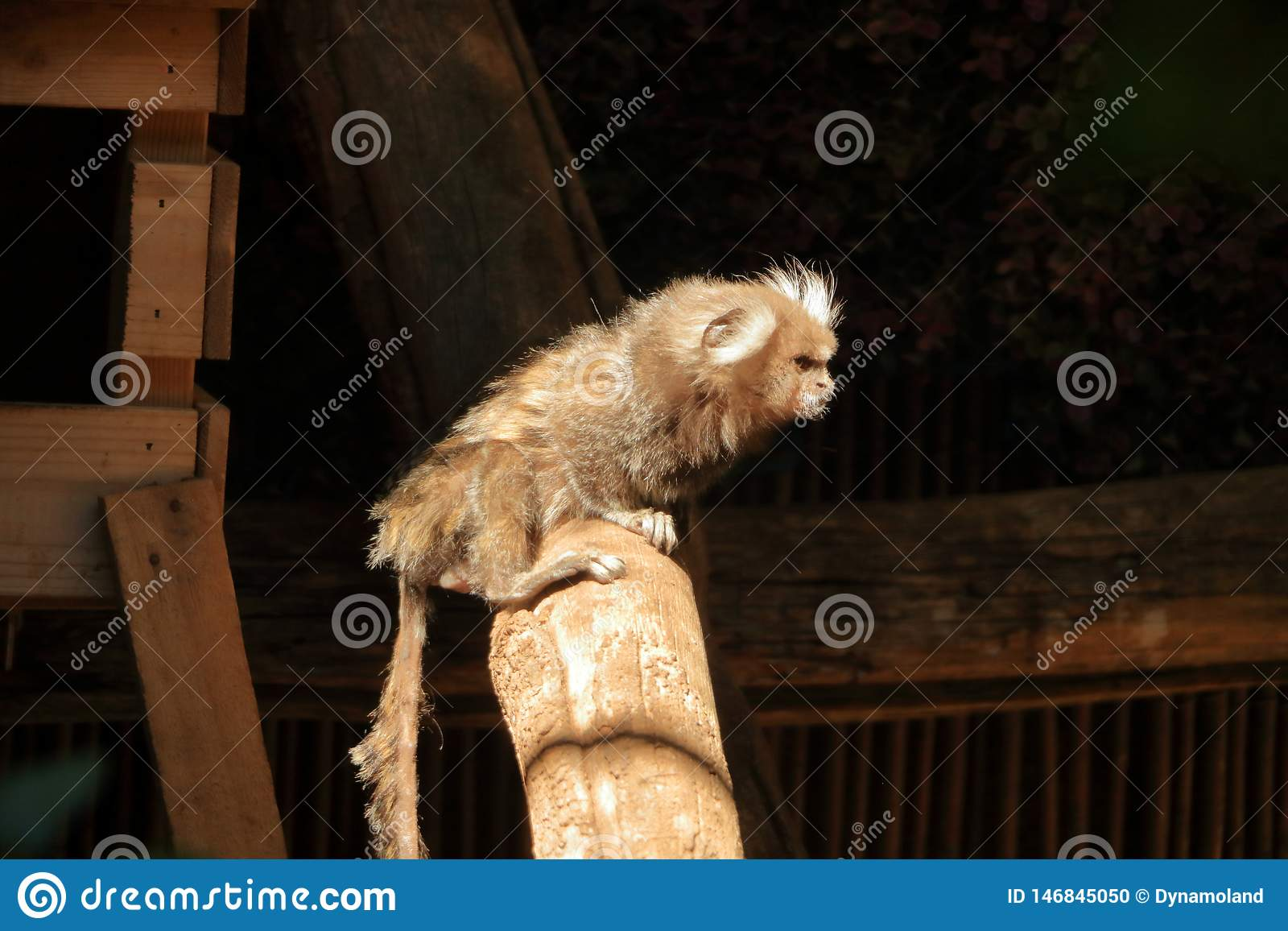 Небольшая обезьяна популярно известная как Бело-замкнутый Стреец, jacchus Callithrix
