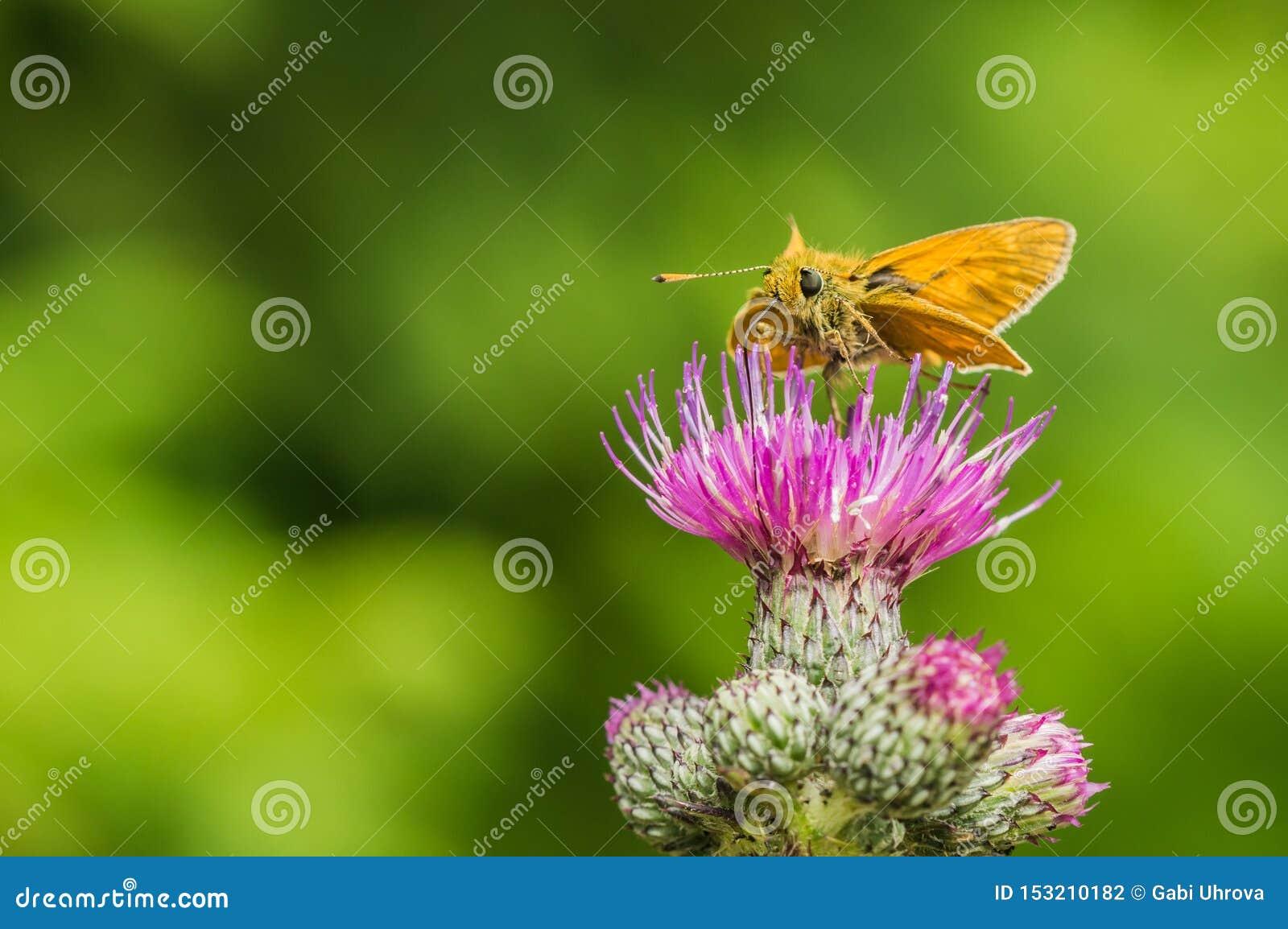 Небольшая оранжевая бабочка на thistle