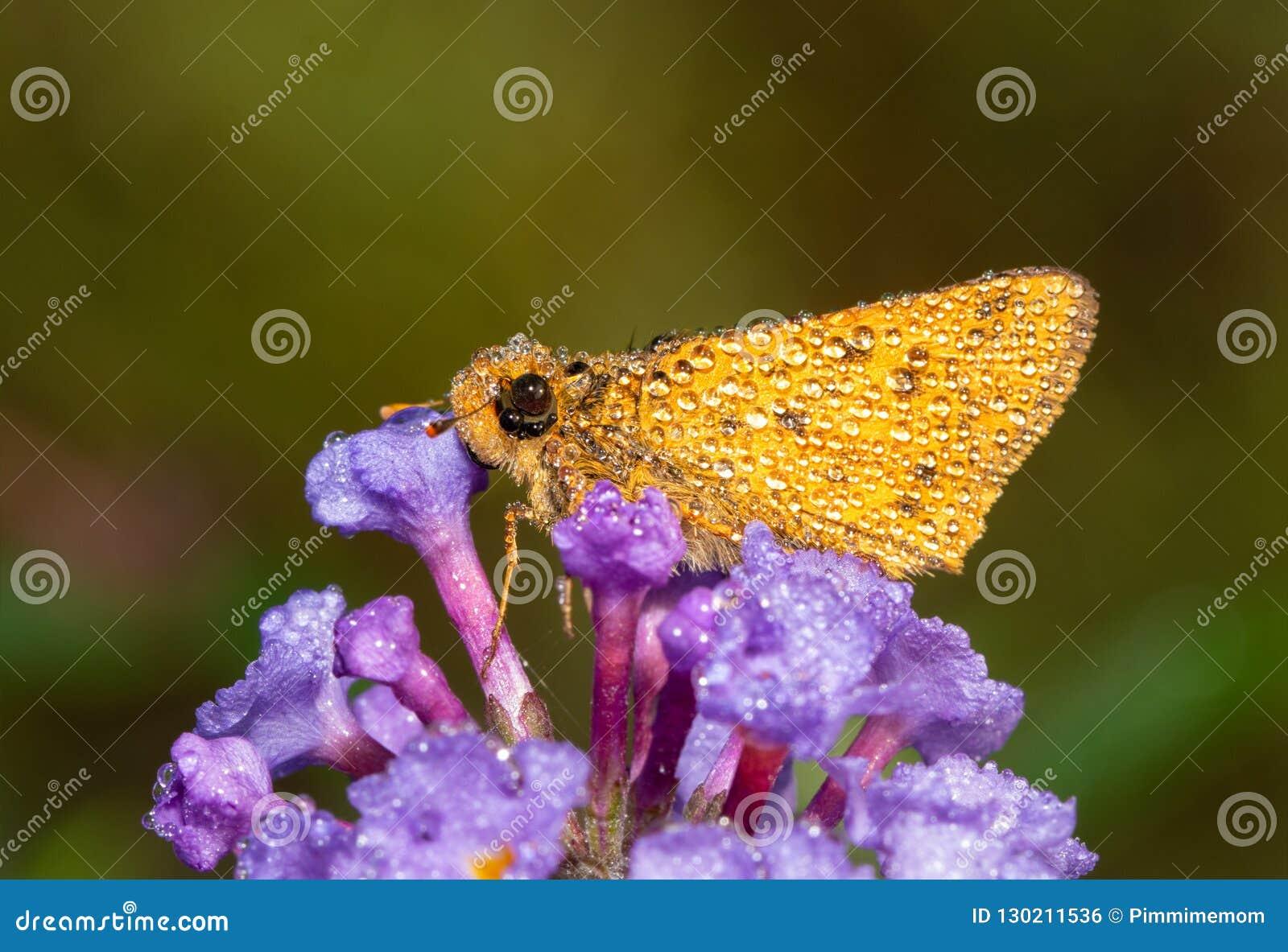 Небольшая оранжевая пламенистая бабочка шкипера предусматриванная в падениях росы на предыдущем утре падения