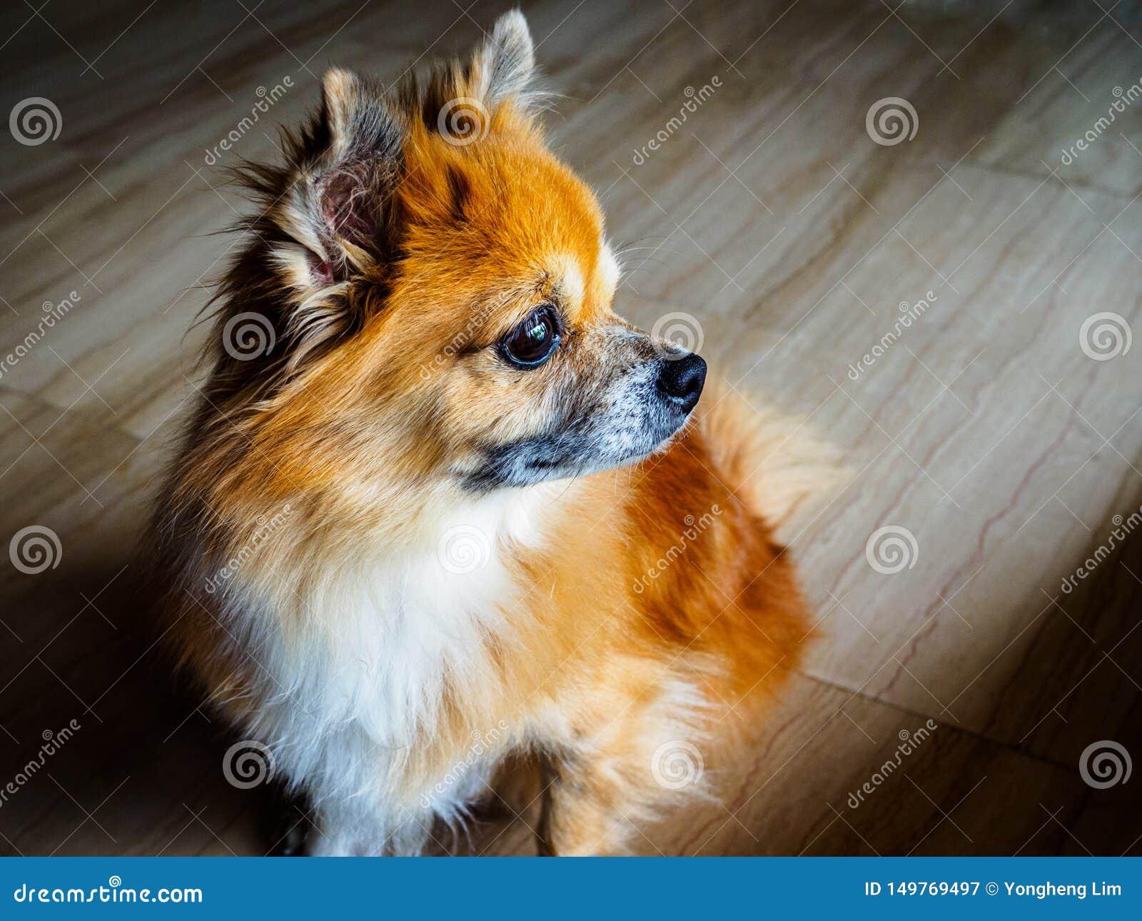 Небольшая старшая смешанная собака спасения породы запаса pomperanian и чихуахуа сидит и вытаращится в расстояние с задумчивым вы