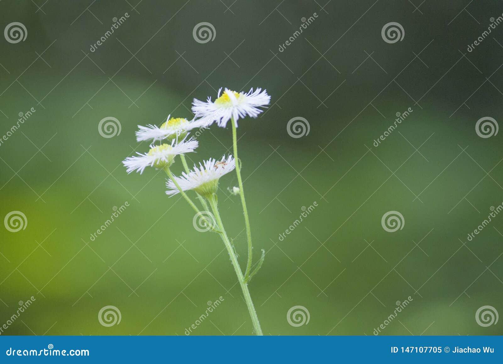 Небольшие дикие цветки завода маргаритки хризантемы
