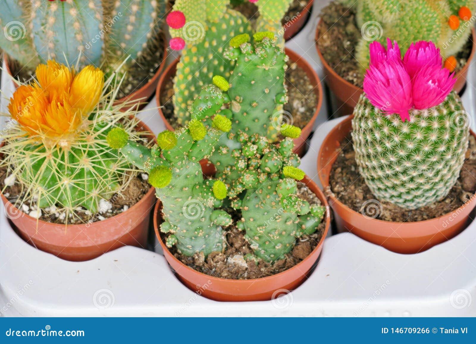 Небольшие зацветая кактусы других цветов