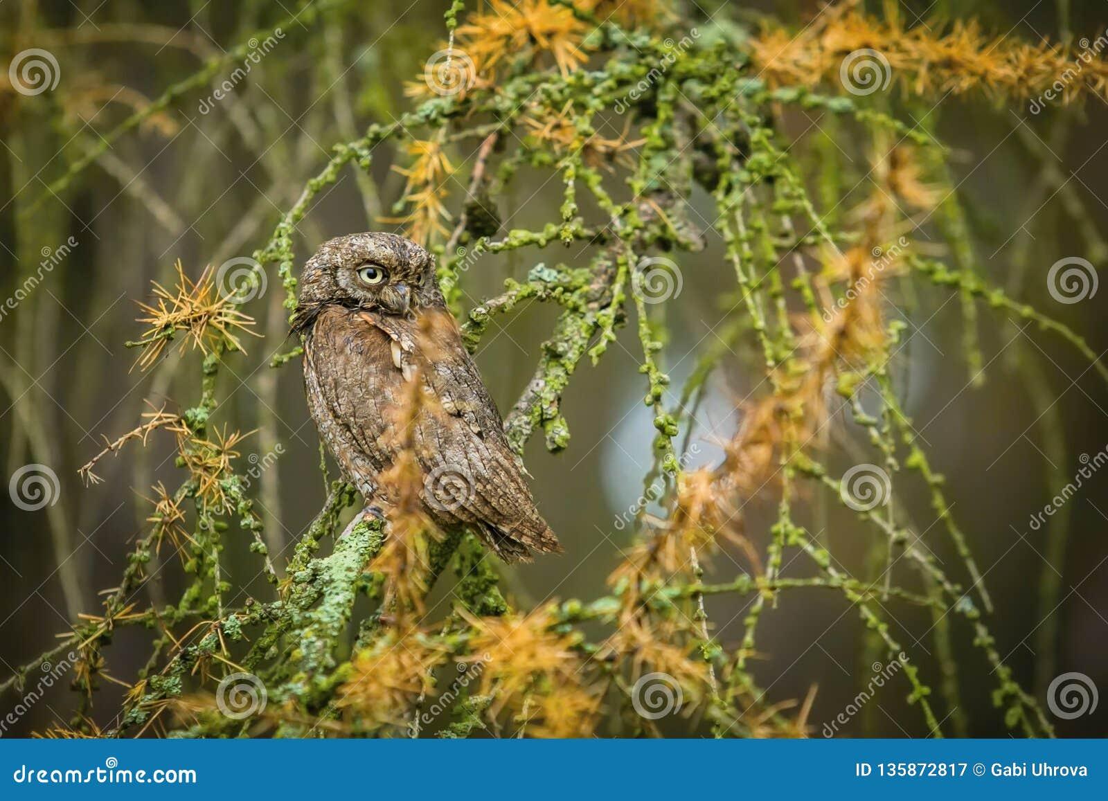 Небольшой коричневый европейский сыч scops, scops Otus сидя на дереве лиственницы