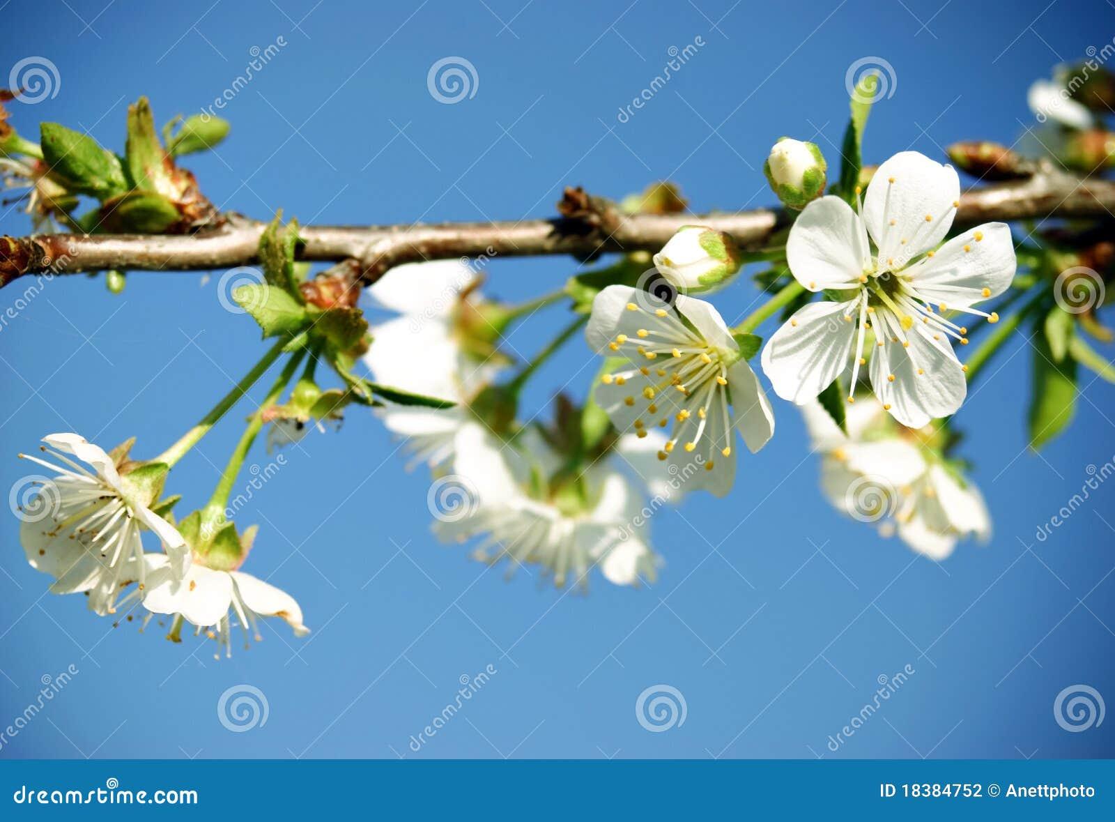 небо вишни цветения голубое